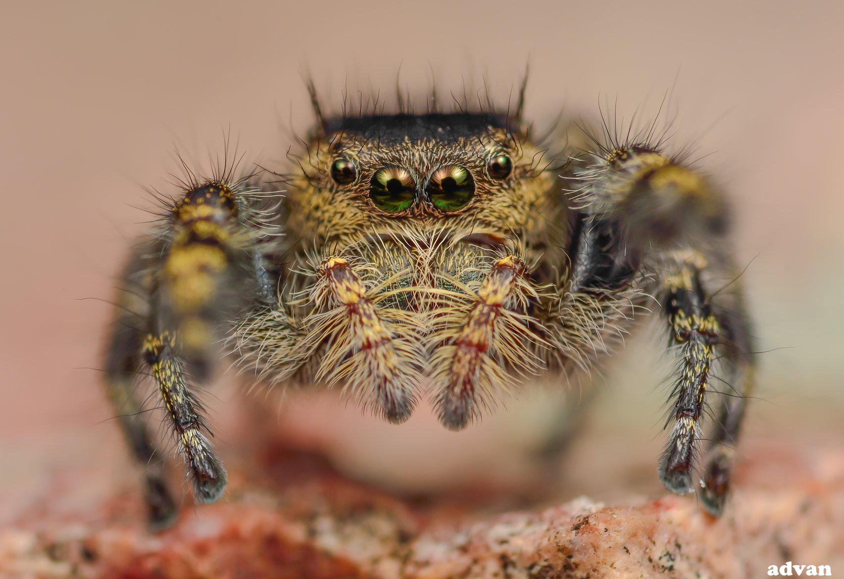 One of Chad's images from the above photo shoot ( Phidippus toro , female) © Chad Campbell