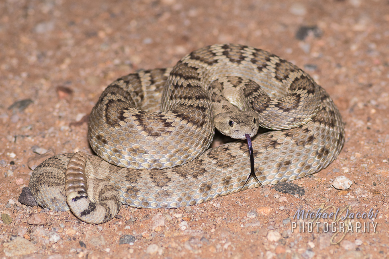 "This ""spirited"" Mohave Rattlesnake ( Crotalus scutulatus ) put on quite the show for Chad as it tried to ""kiss"" me"