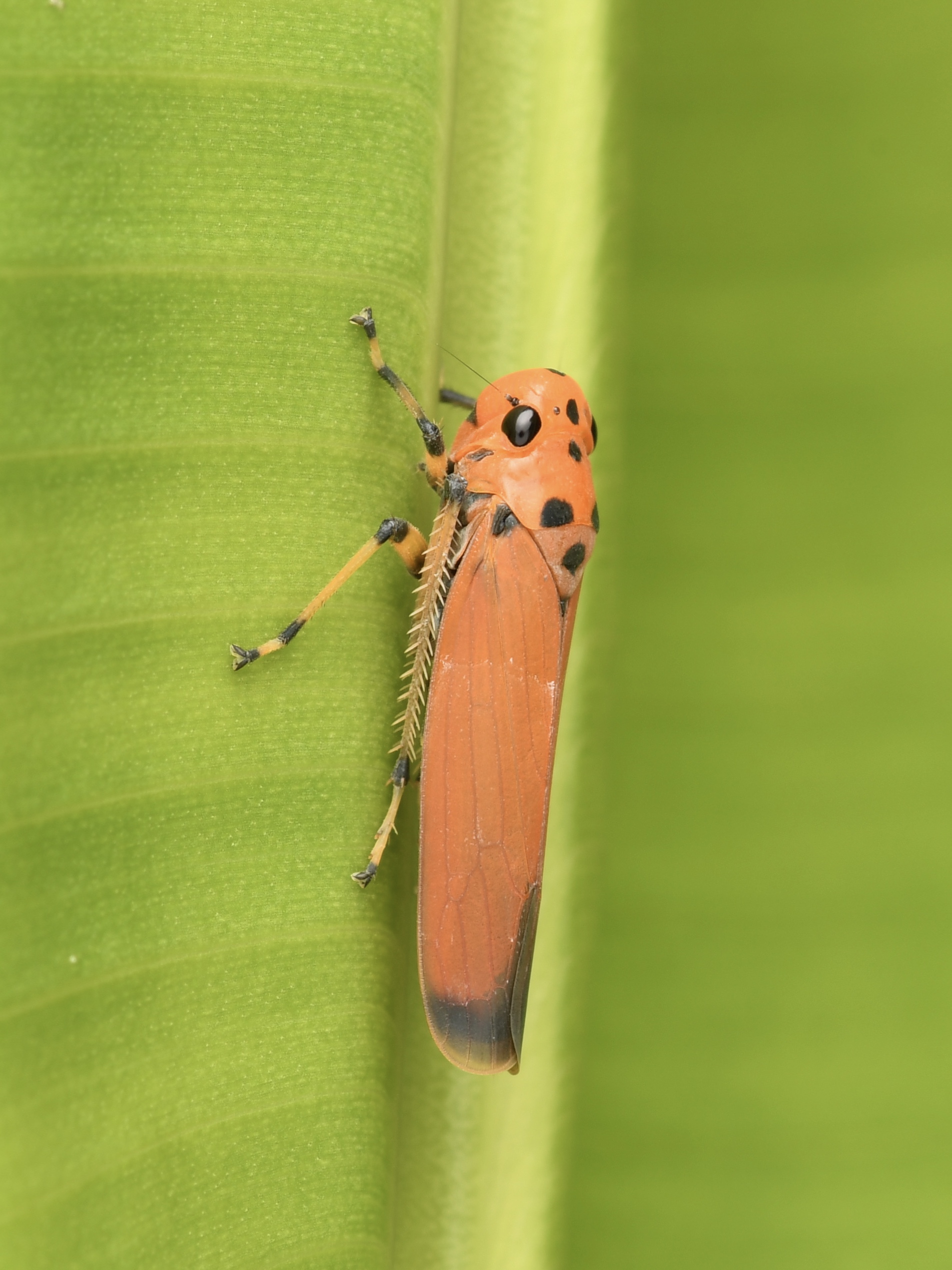 Orange Sharpshooter (Leafhopper) ( Bothrogonia addita ),   Penang Island, Malaysia  • Nikon D500, Tokina 100mm f/2,8 macro, Nikon SB900 @ 1/4 power with Alex Goh Macro Diffuser, ISO100, f/18, 1/200s