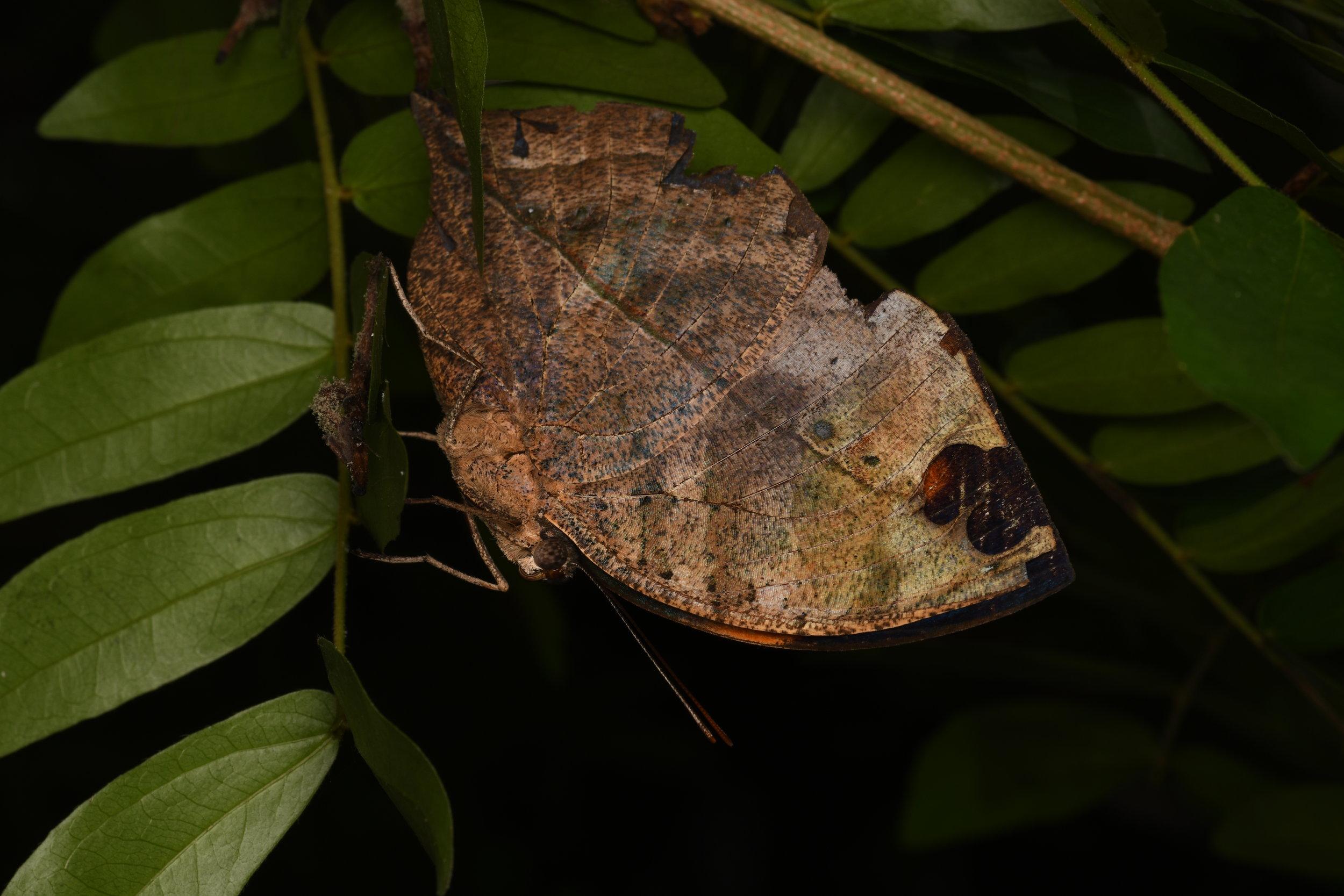Malayan Oakleaf Butterfly ( Kallima limborgii ),   Penang Island, Malaysia  • Nikon D500, Tokina 100mm f/2,8 macro, Nikon SB900 @ 1/4 power with Alex Goh Macro Diffuser, ISO100, f/18, 1/160s