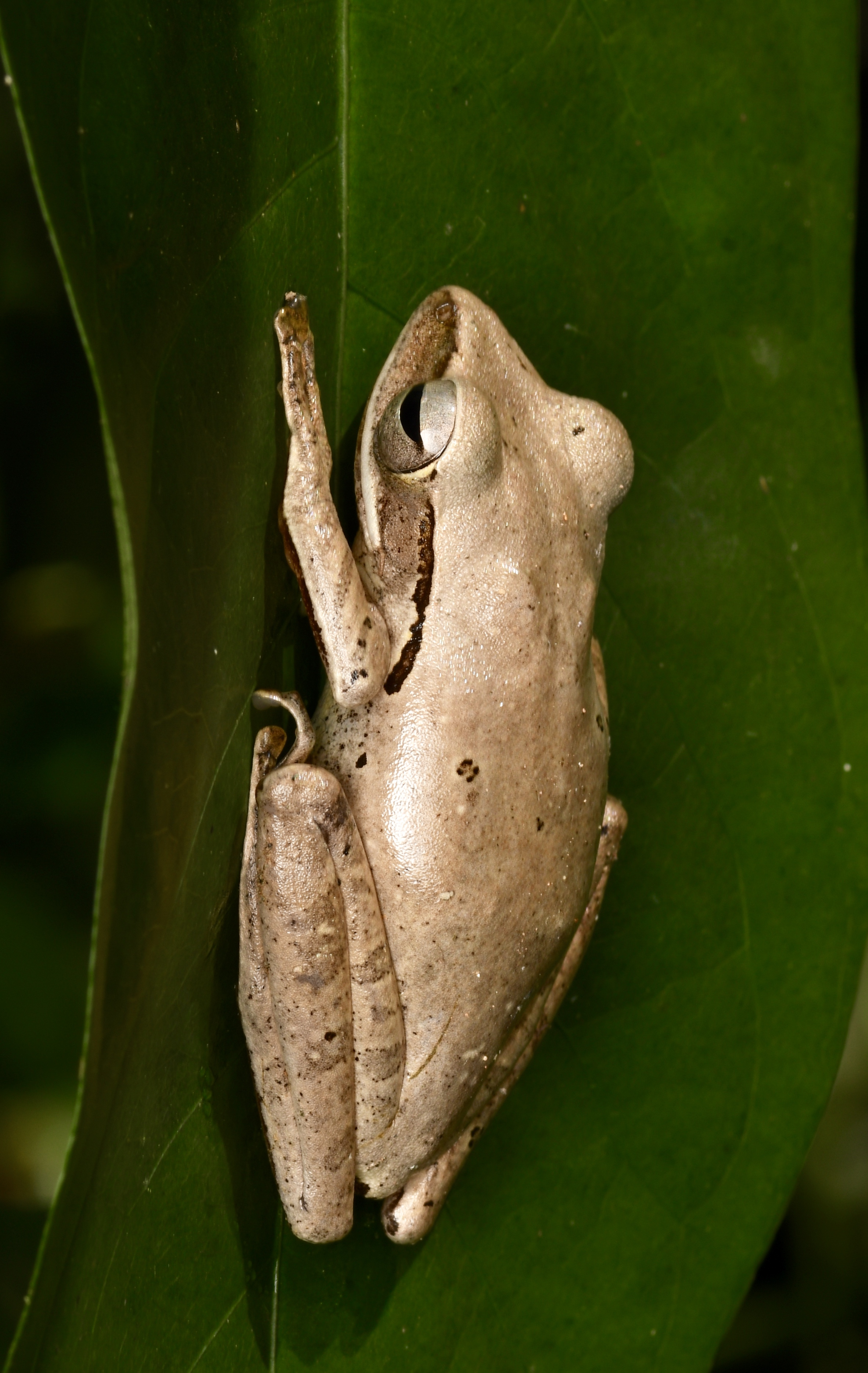 Southeast Asian Treefrog ( Polypedates leucomystax ), Pulau Pinang, Malaysia
