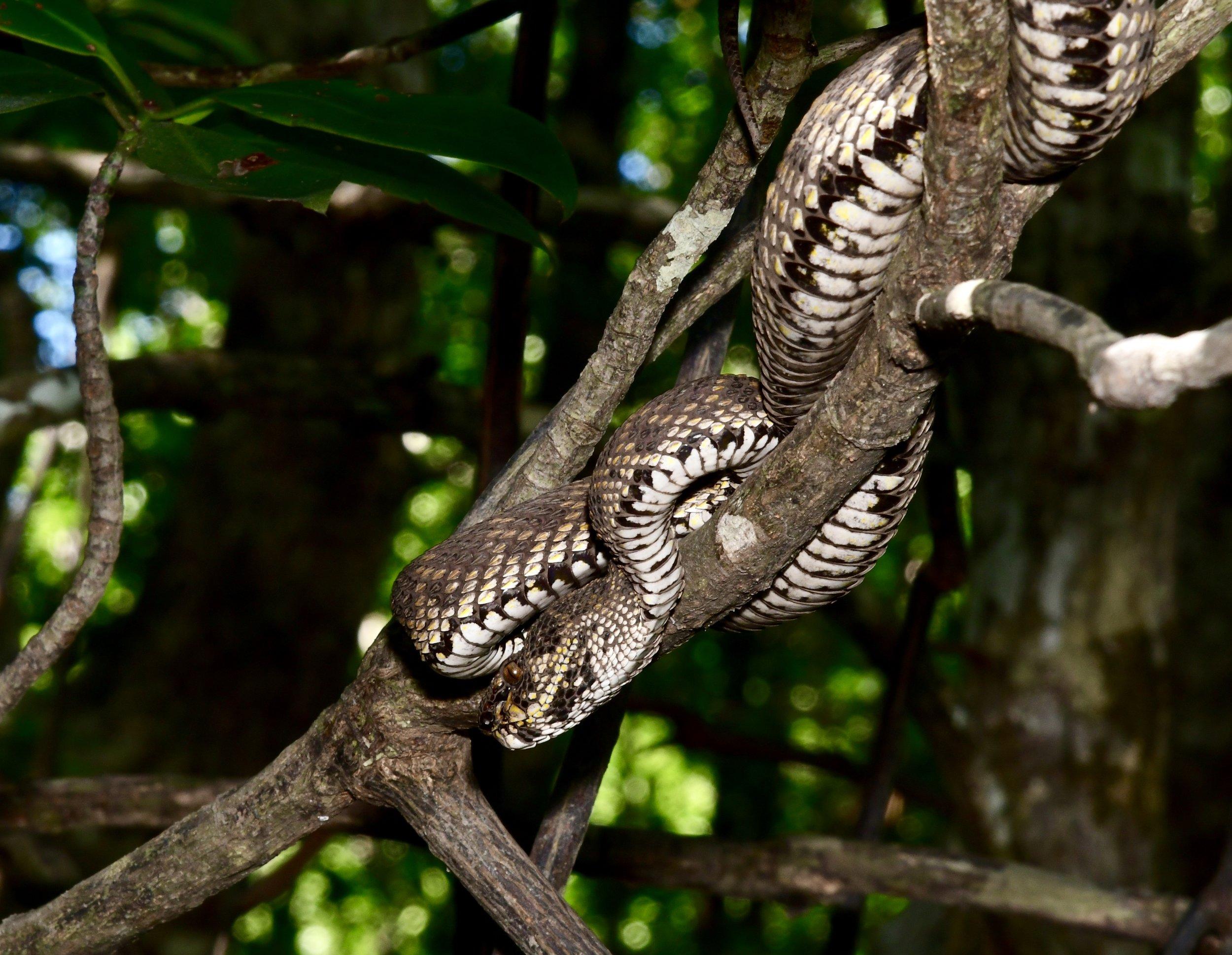 Mangrove Pitviper ( Trimeresurus purpeomaculatus ), Tanjung Rhu ,  Langkawi Island, Malaysia  • Nikon D500, Nikon 24-120mm f/4 @ 120mm, Nikon SB900 with softbox, ISO100, f/16, 1/60s