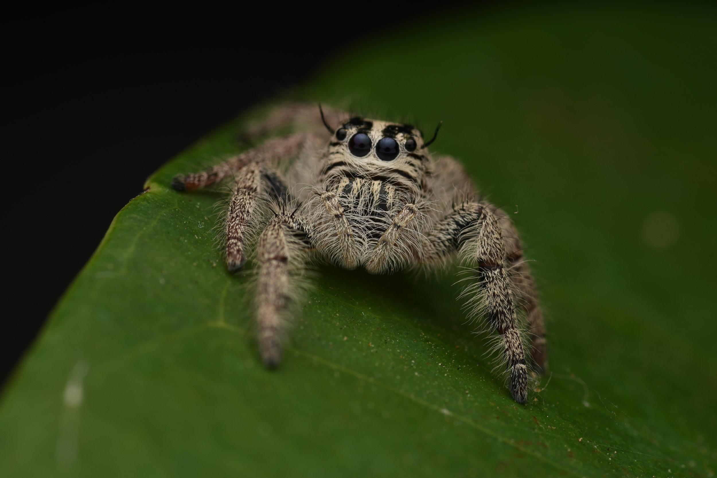 Heavy Jumping Spider ( Hyllus diardi ),   Tanjung Rhu, Langkawi Island, Malaysia  • Nikon D500, Tokina 100mm f/2,8 macro, Nikon SB900 @ 1/16 power with Alex Goh Macro Diffuser, ISO100, f/18, 1/250s