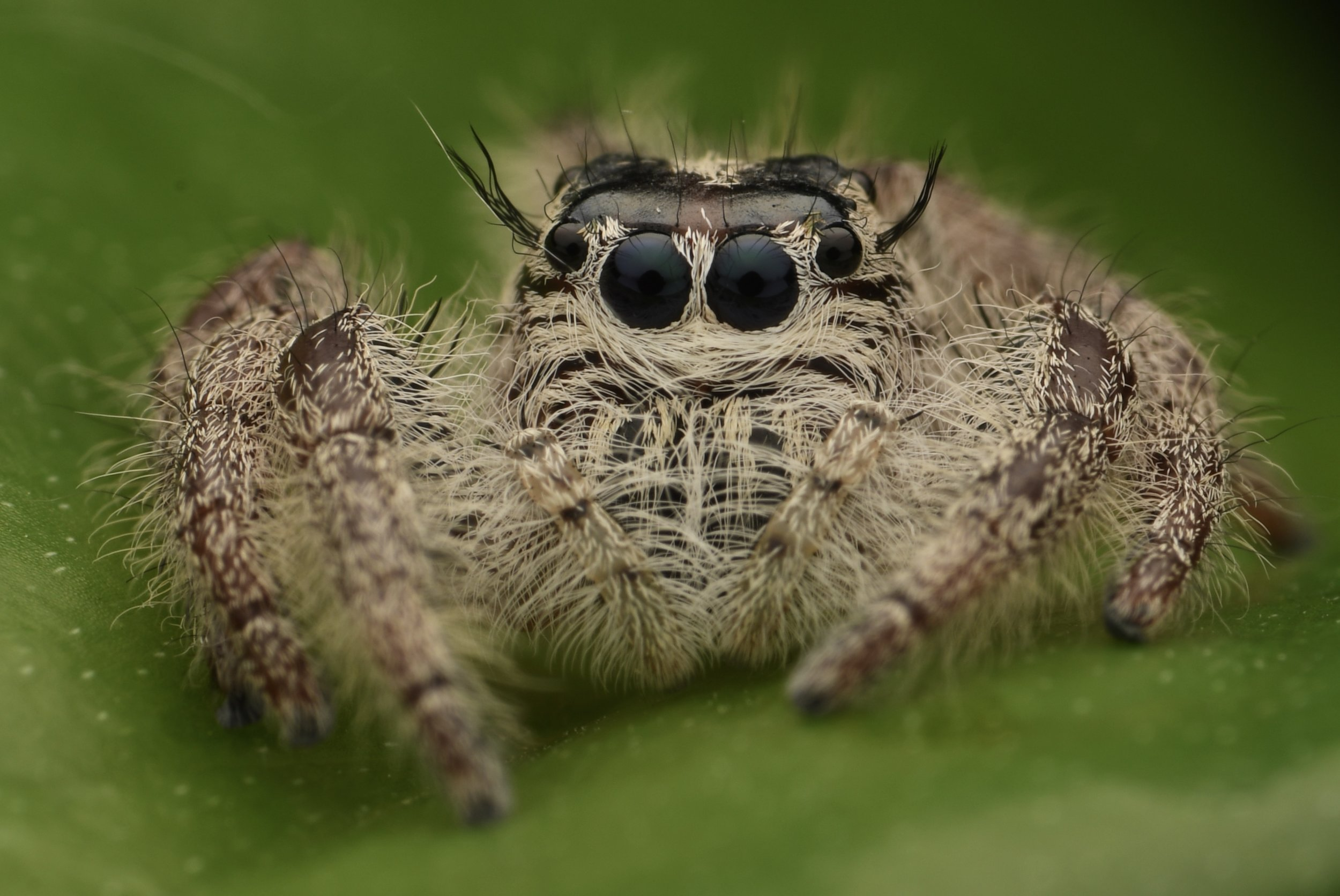 Heavy Jumping Spider ( Hyllus diardi ),   Tanjung Rhu, Langkawi Island, Malaysia  • Nikon D500, Tokina 100mm f/2,8 macro with Raynox DCR-250, Nikon SB900 @ 1/8 power with Alex Goh Macro Diffuser, ISO100, f/22, 1/60s