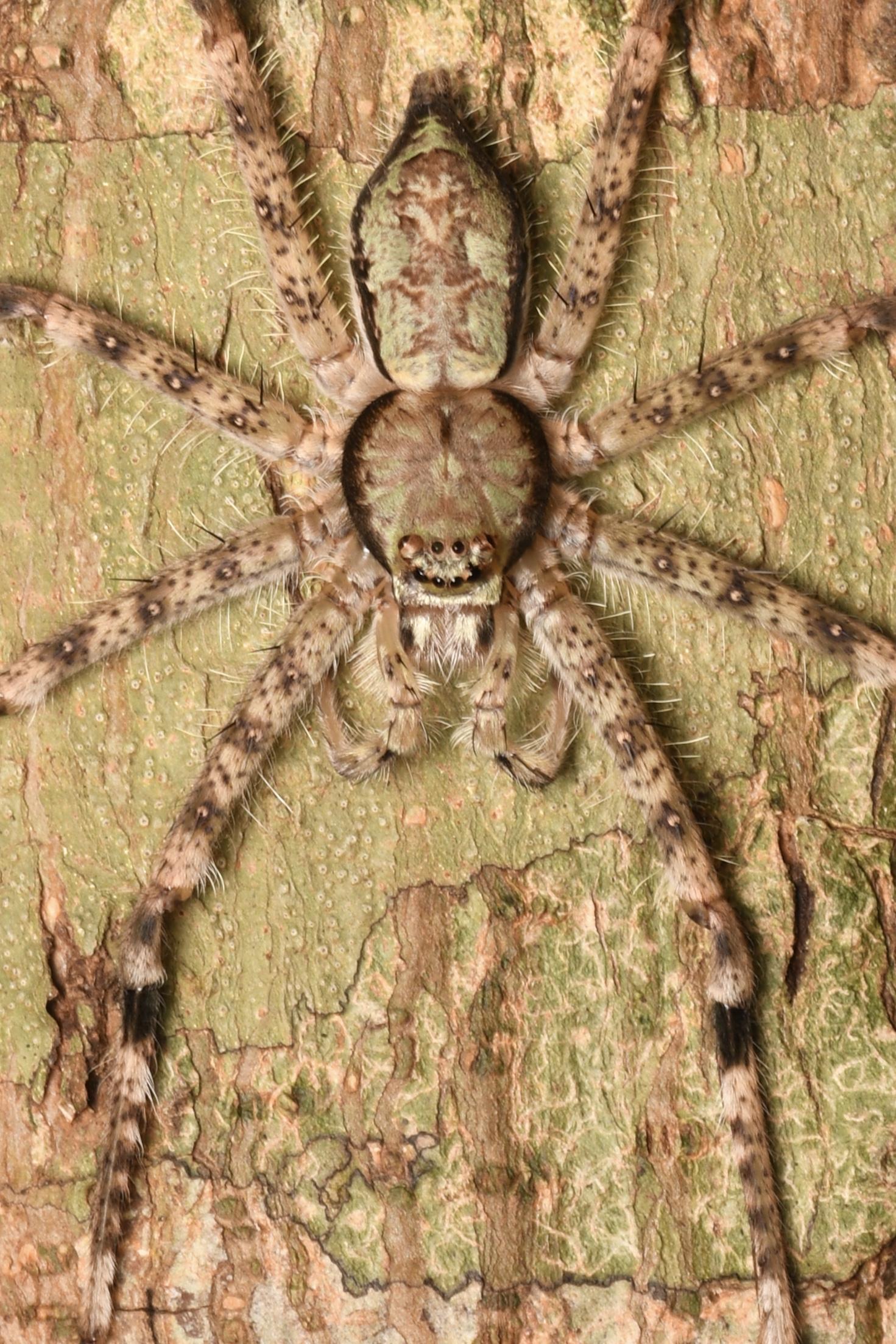 Lichen Huntsman Spider ( Pandercetes  sp.),   Telaga Tujuh, Langkawi Island, Malaysia  • Nikon D500, Tokina 100mm f/2.8 macro, Nikon SB900 @ 1/8 power with Alex Goh Macro Diffuser, ISO100, f/16, 1/60s