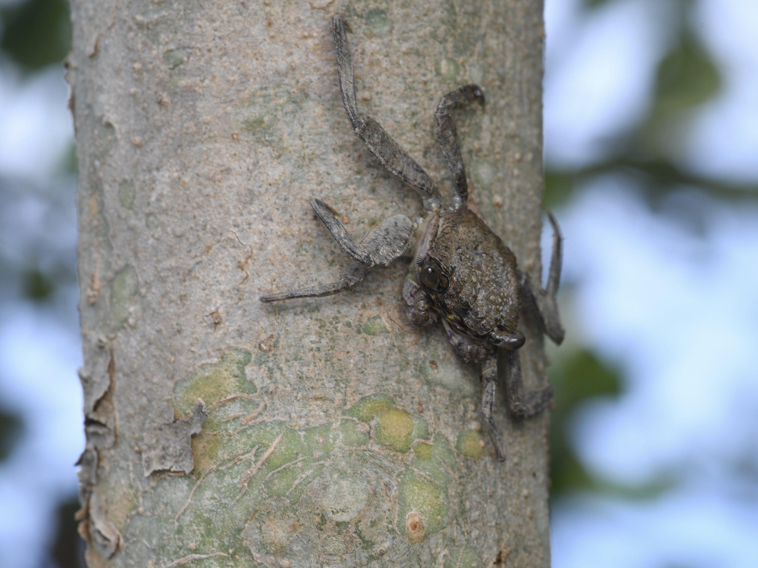 Tree Crab (Sesarmidae sp.),   Berjaya mangrove, Burau Bay, Langkawi Island, Malaysia  • Nikon D500, Tokina 100mm f/2,8 macro, Nikon SB900 @ 1/8 power with Alex Goh Macro Diffuser, ISO100, f/16, 1/60s
