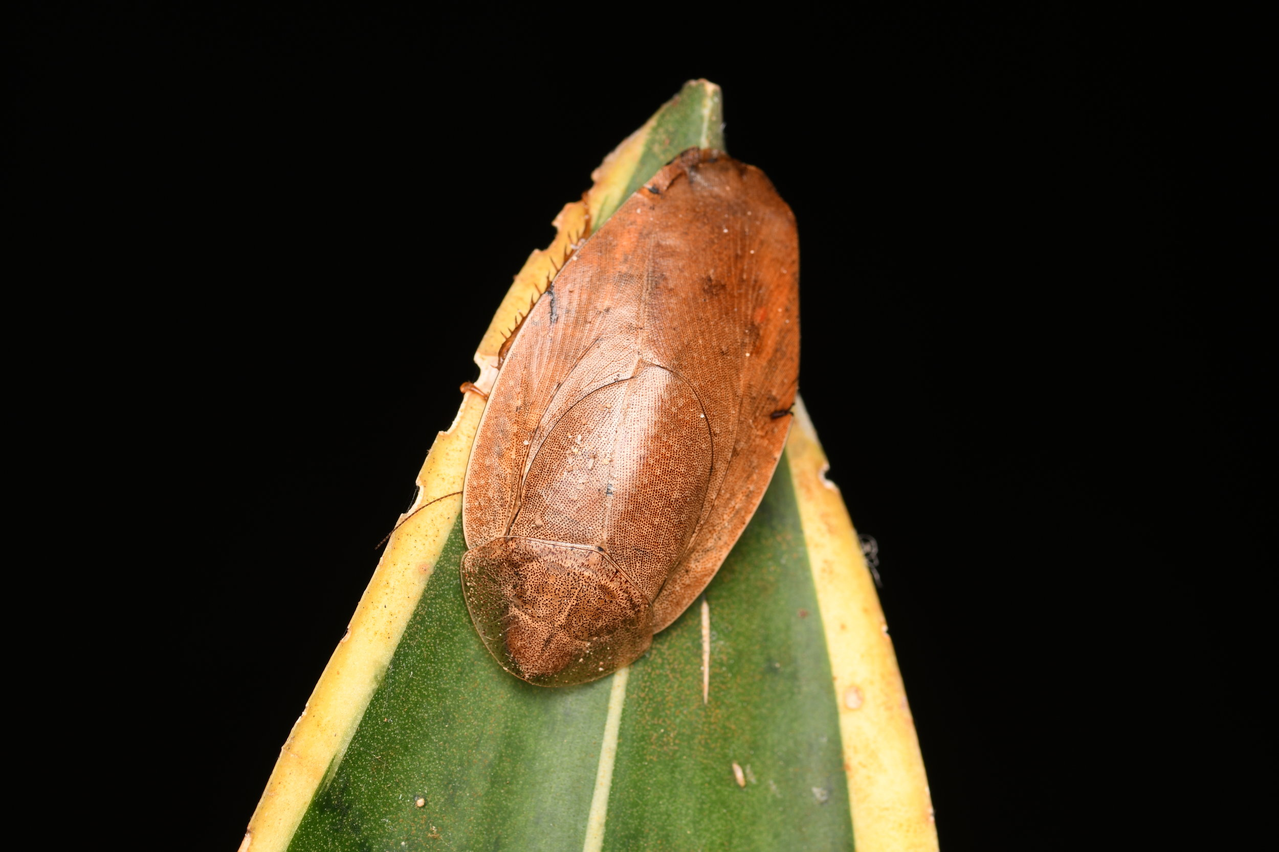 Epilamprinae roach ( Pseudophoraspis  sp.),   Telaga Tujuh, Langkawi Island, Malaysia  • Nikon D500, Tokina 100mm f/2.8 macro, Nikon SB900 @ 1/8 power with softbox, ISO100, f/18, 1/120s