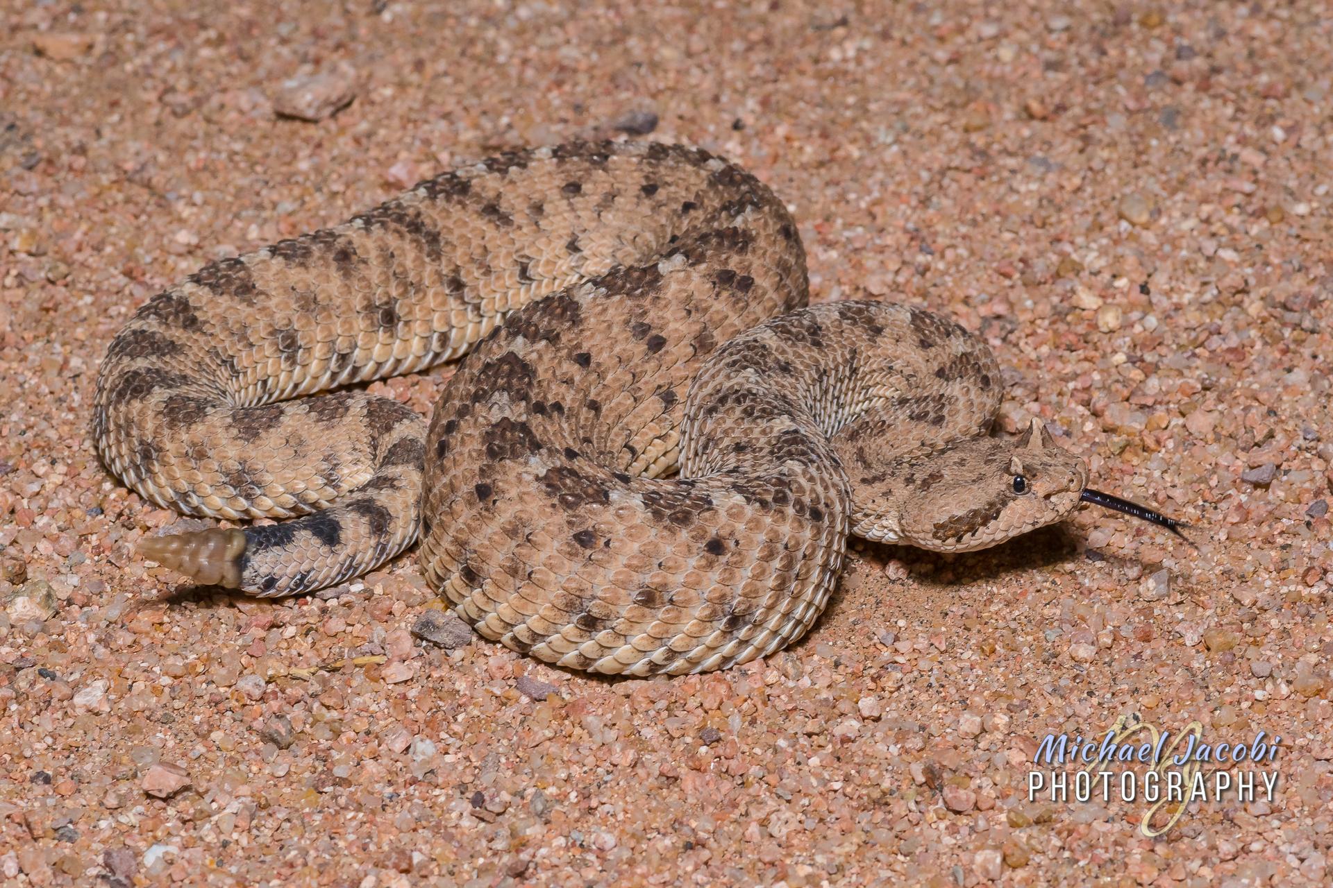 Crotalus cerastes , Sonoran Desert Sidewinder