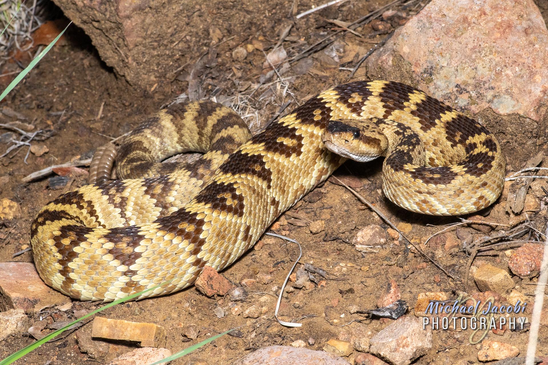 Crotalus molossus 'molossus' , Western (or Northern) Black-tailed Rattlesnake, Chiricahua Mountains, AZ