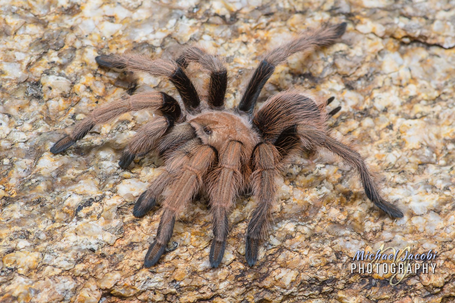 Aphonopelma chalcodes , Desert Blonde Tarantula, Catalina Mountains, AZ