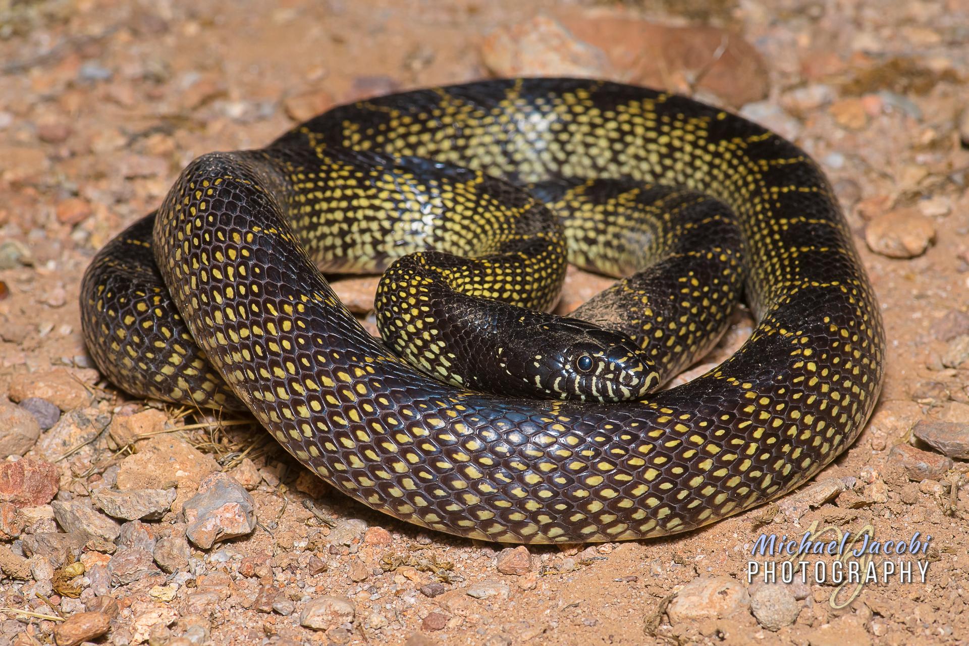 Lampropeltis splendida , Desert Kingsnake, Hidalgo County, New Mexico