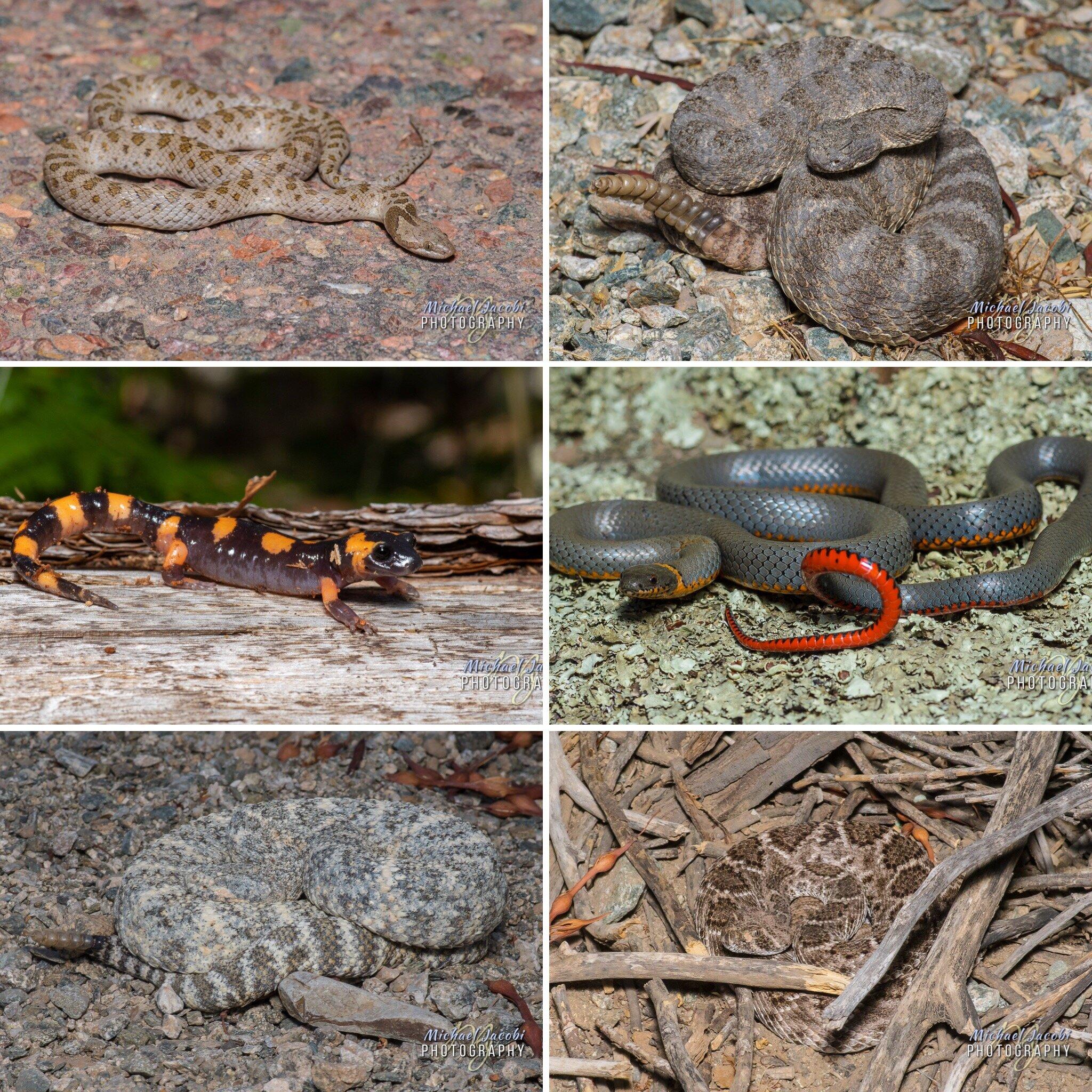 Top: Desert Nightsnake -  Hyspiglena chlorophaea , Tiger Rattlesnake -  Crotalus tigris ; Middle: Large-blotched Ensatina -  Ensatina eschscholtzii klauberi,  Regal Ringneck Snake -  Diadophis punctatus regalis ; Bottom: Southwestern Speckled Rattlesnake -  Crotalus pyrrhu s, Western Diamondback Rattlesnake -  Crotalus atrox
