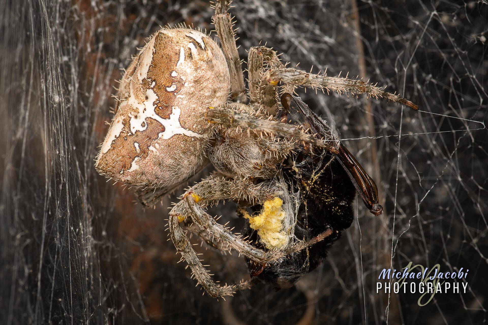 Araneus_gemmoides_3.jpg