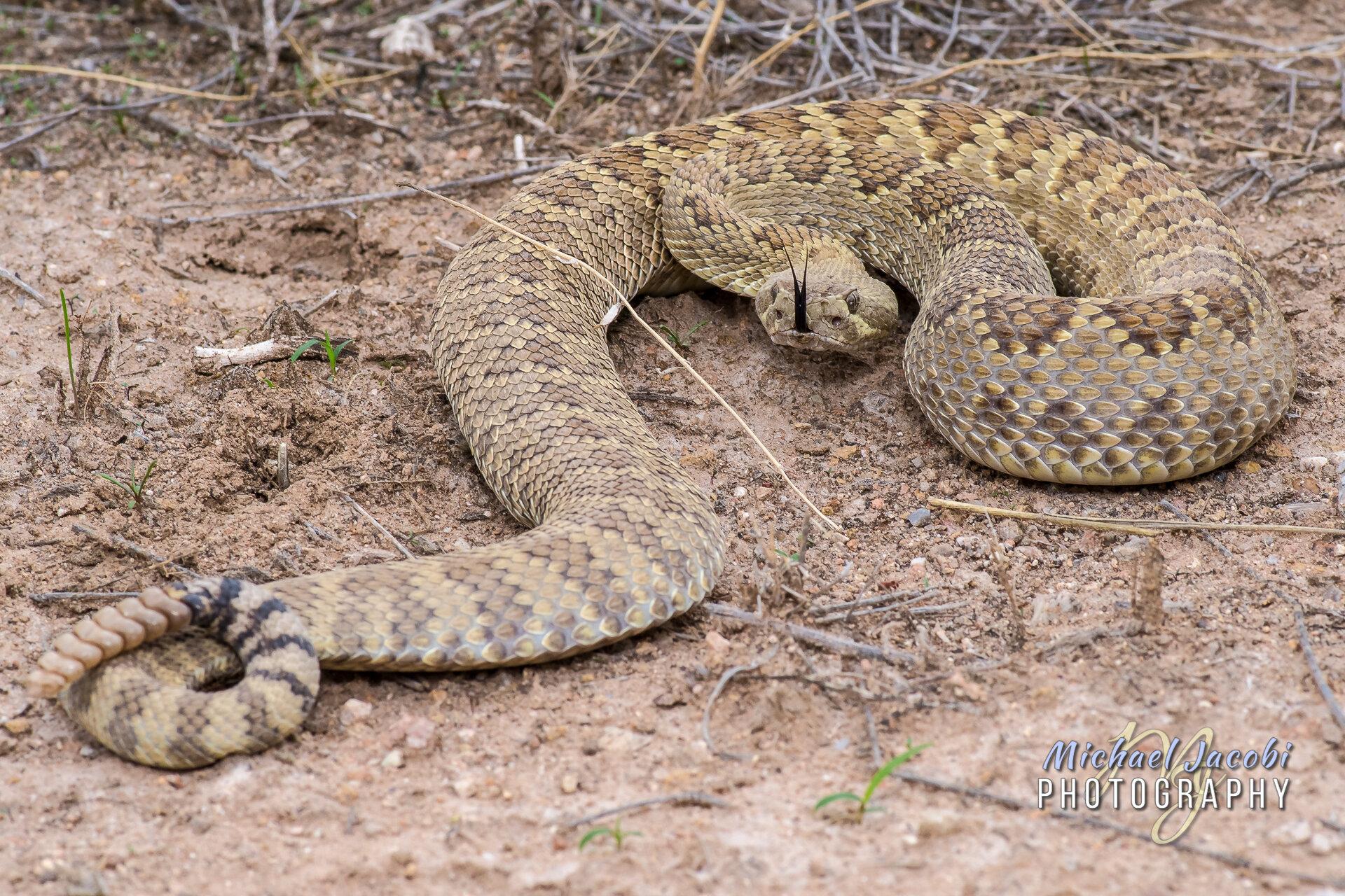 Mohave Rattlesnake ( Crotalus scutulatus ), Chiricahua Foothills