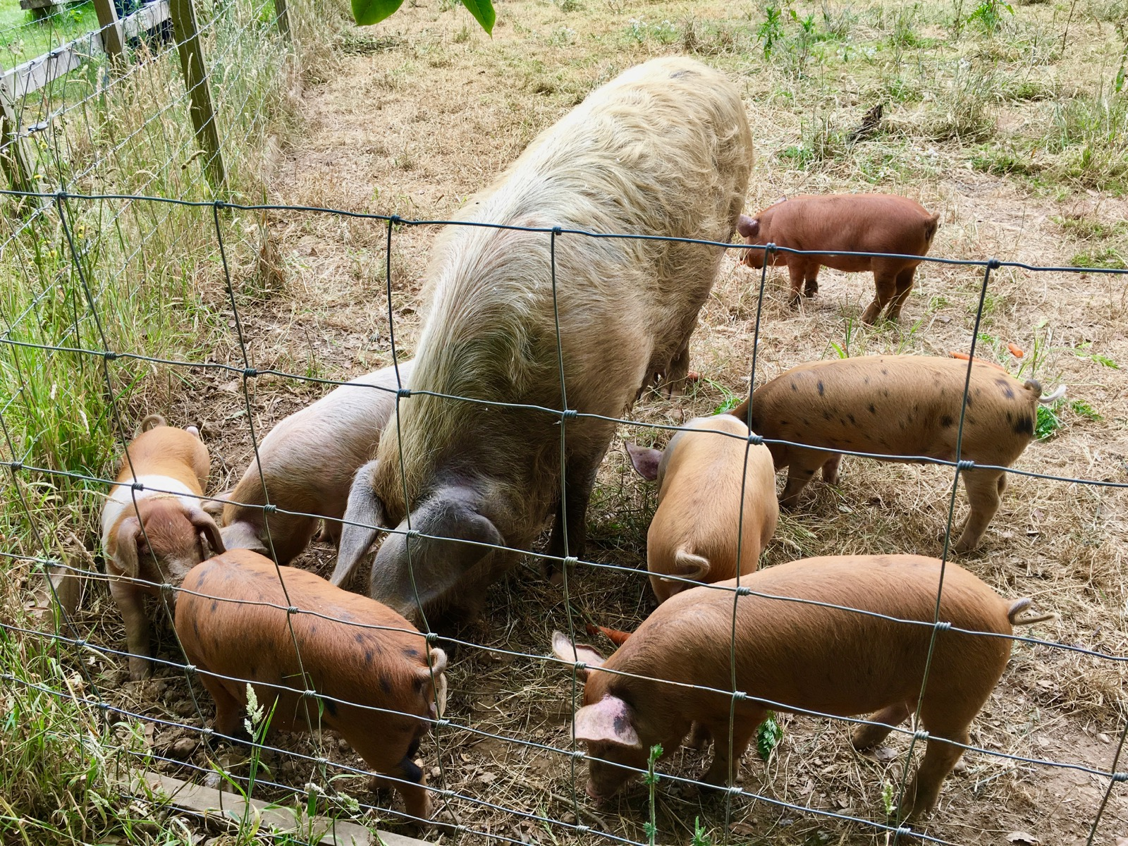 Quarr Abbey Pigs Isle of Wight