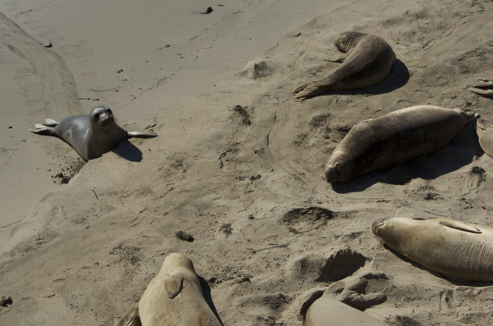 Stuck elephant seal