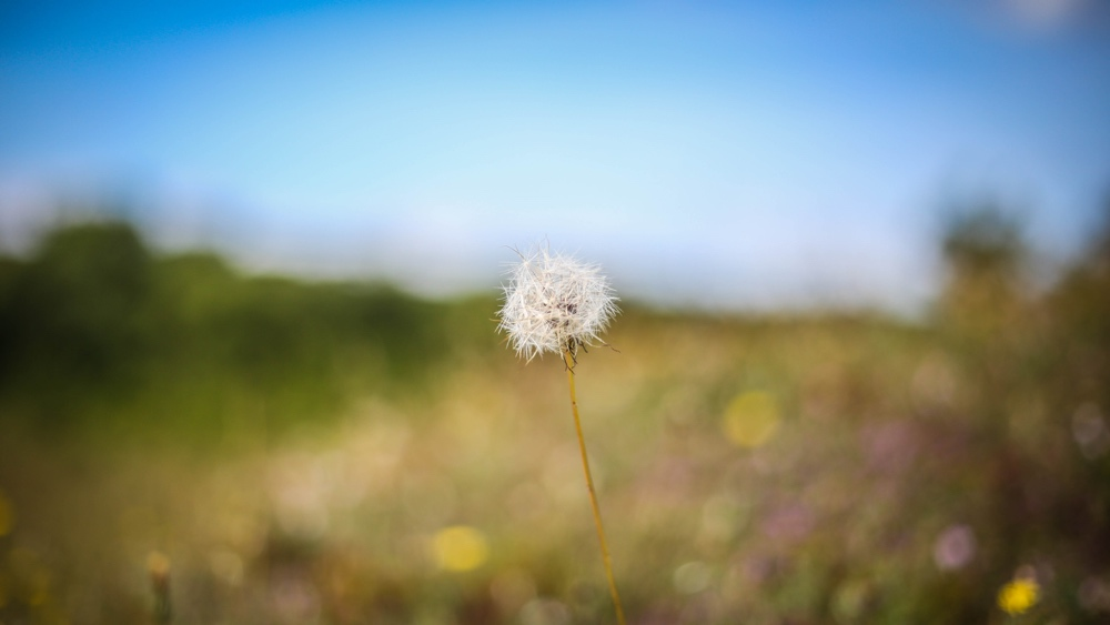 2.Dandelion.jpg
