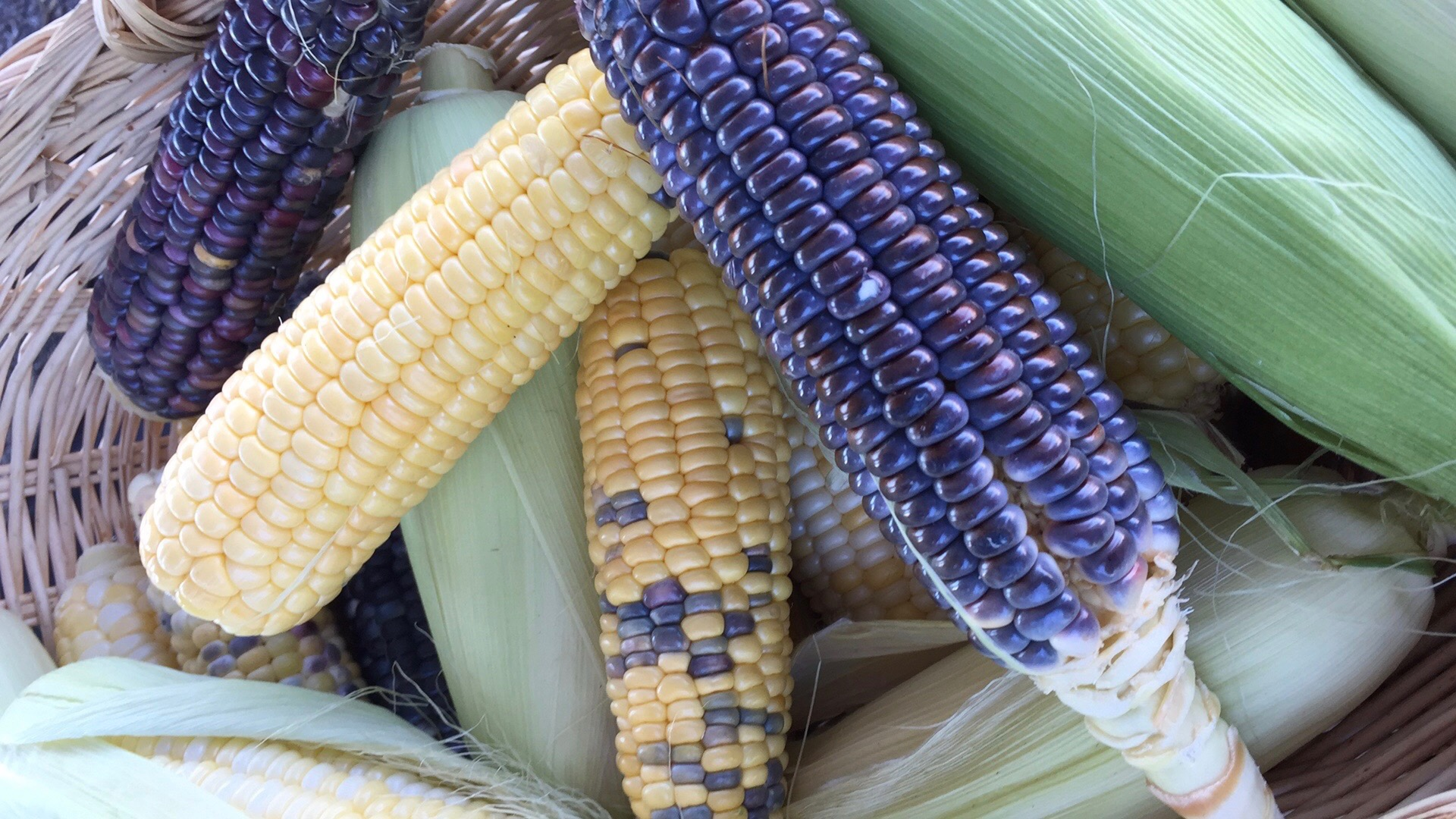 Sweet Corn and Blue Corn