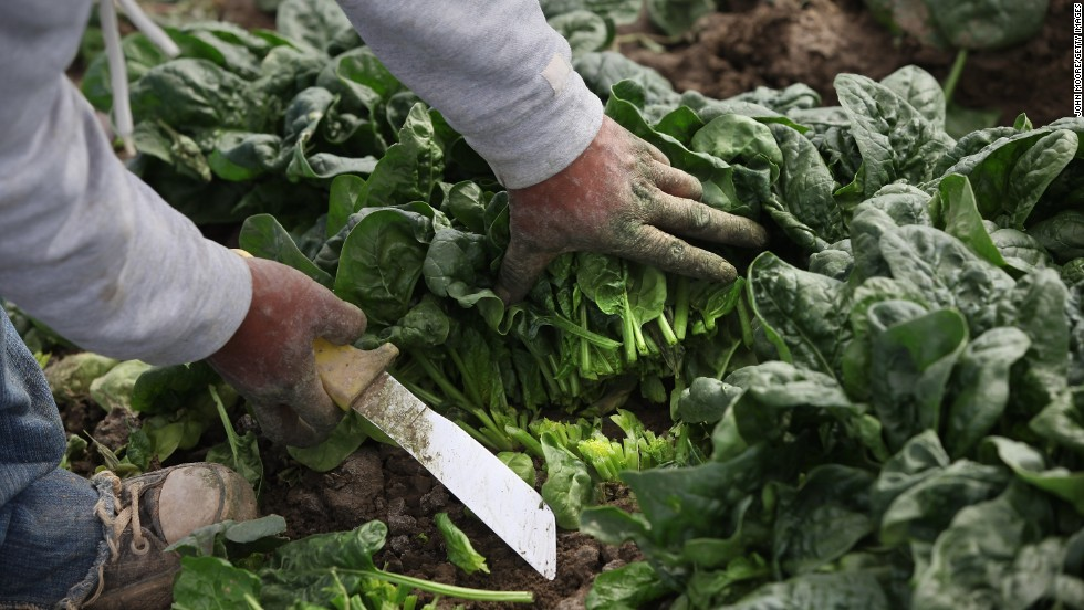 Photos:The 2017 'Dirty Dozen'  Spinach jumped into the second spot this year with twice as much pesticide residue by weight than any other crop on the Dirty Dozen list. Four pesticides -- one insecticide and three fungicides -- were responsible for the bulk of the residues detected on spinach.