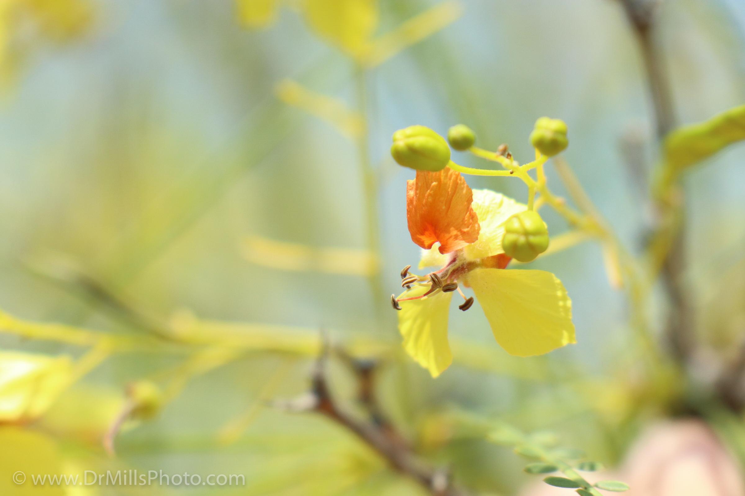Flower - MtHelix - YellowAndOrange - Macro - 2017 - WthWatermark - 72ppi.jpg