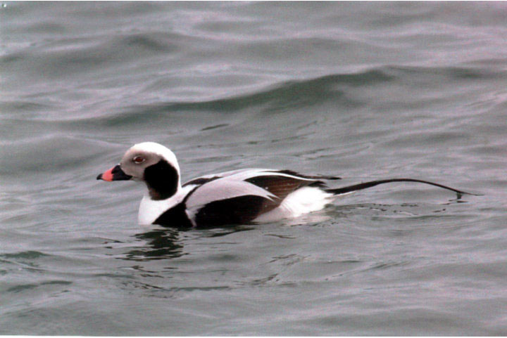 Flora - Long tailed duck.png
