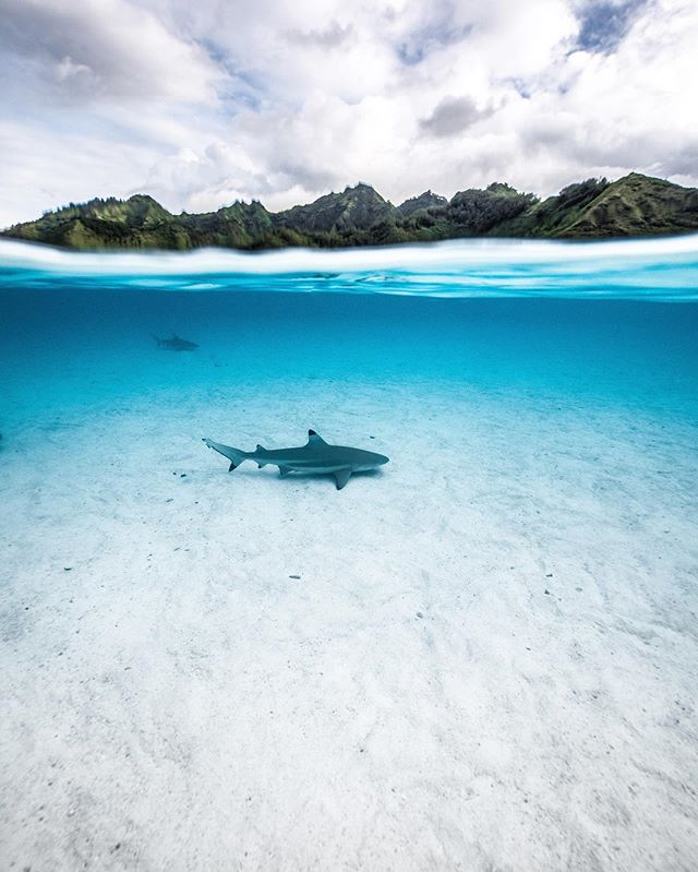 Blacktip patrolling aroung the lagoon in Moorea