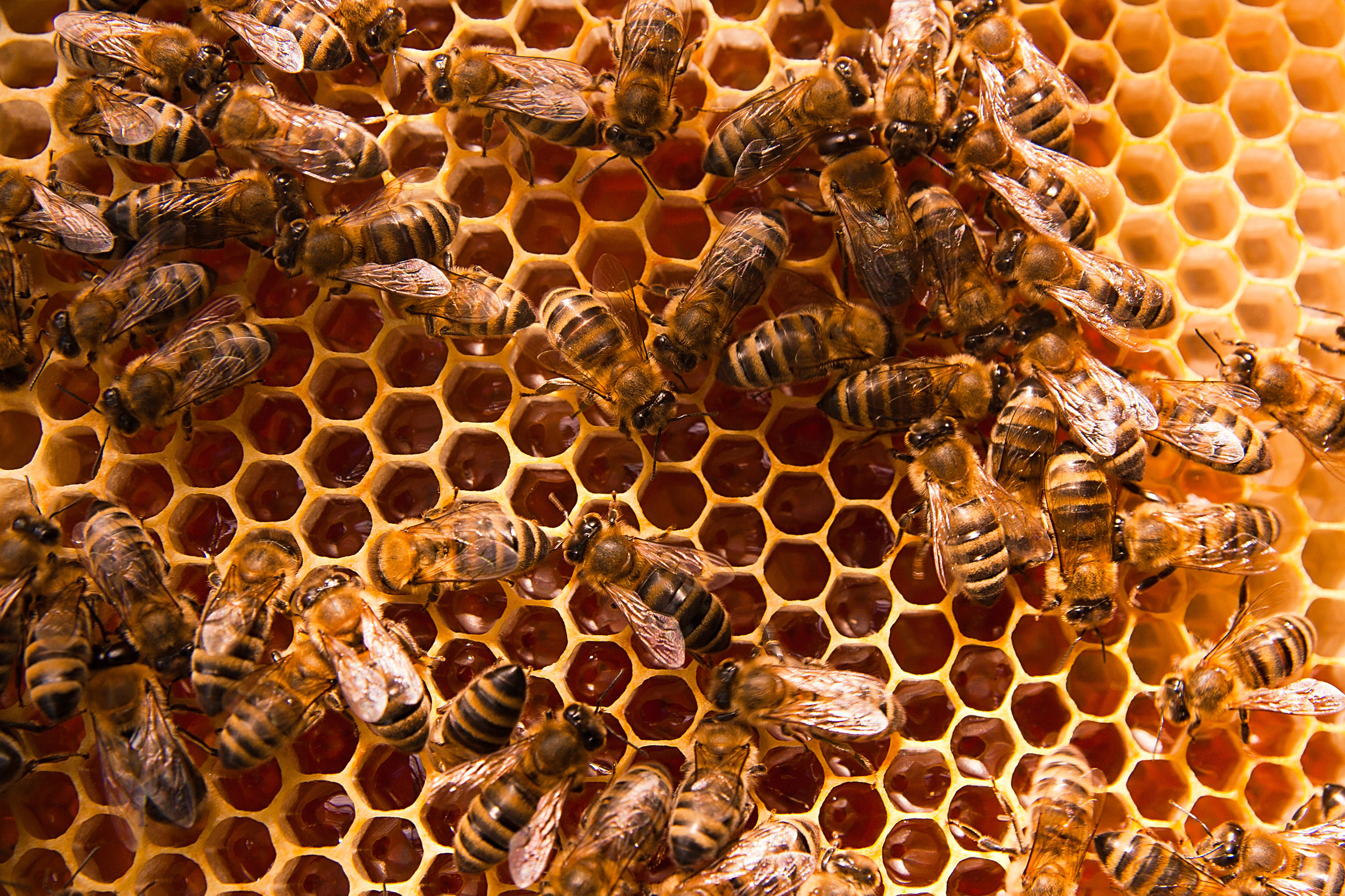 Open 7 days - View a live bee colony through clear acrylic hive walls, inside our observation room.