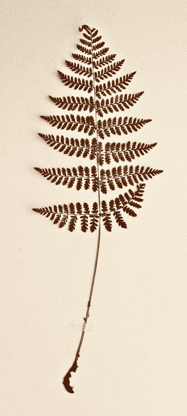 old phot bw fern.jpg
