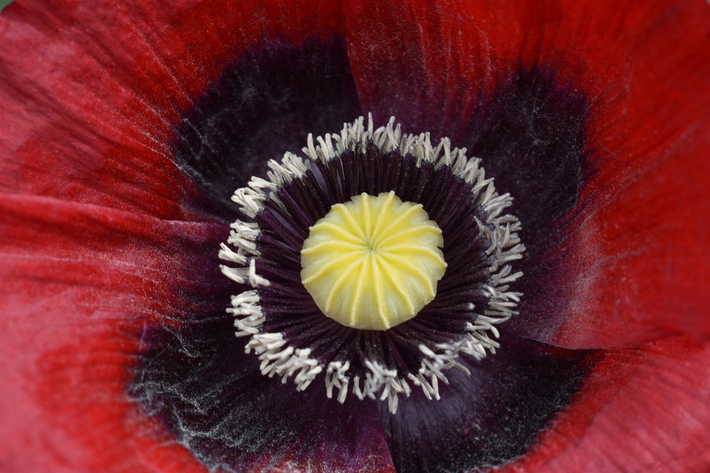 the inside of a poppy