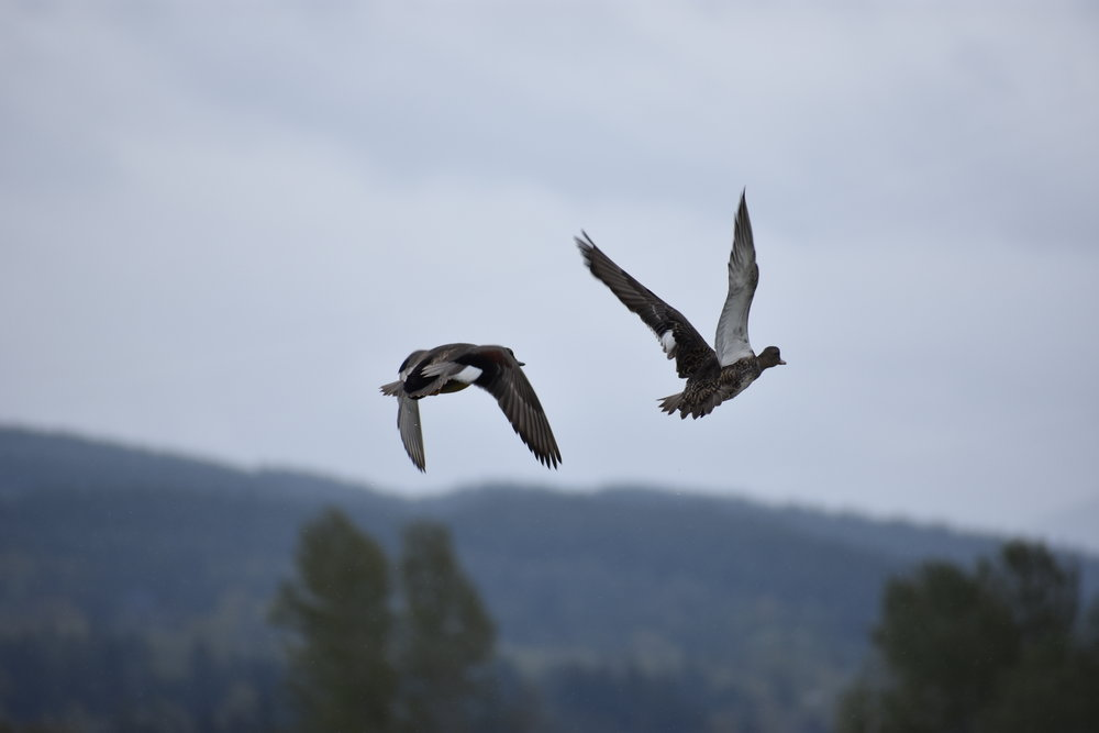 ducks take flight from the slough