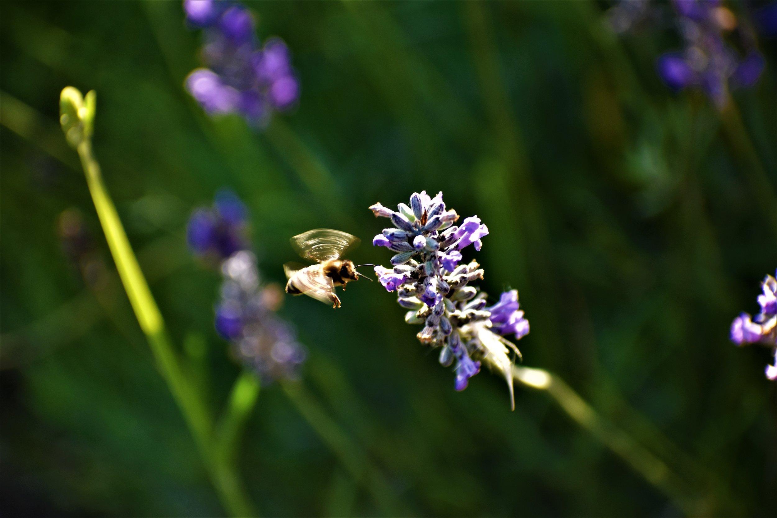 Bees love Lavendar nector