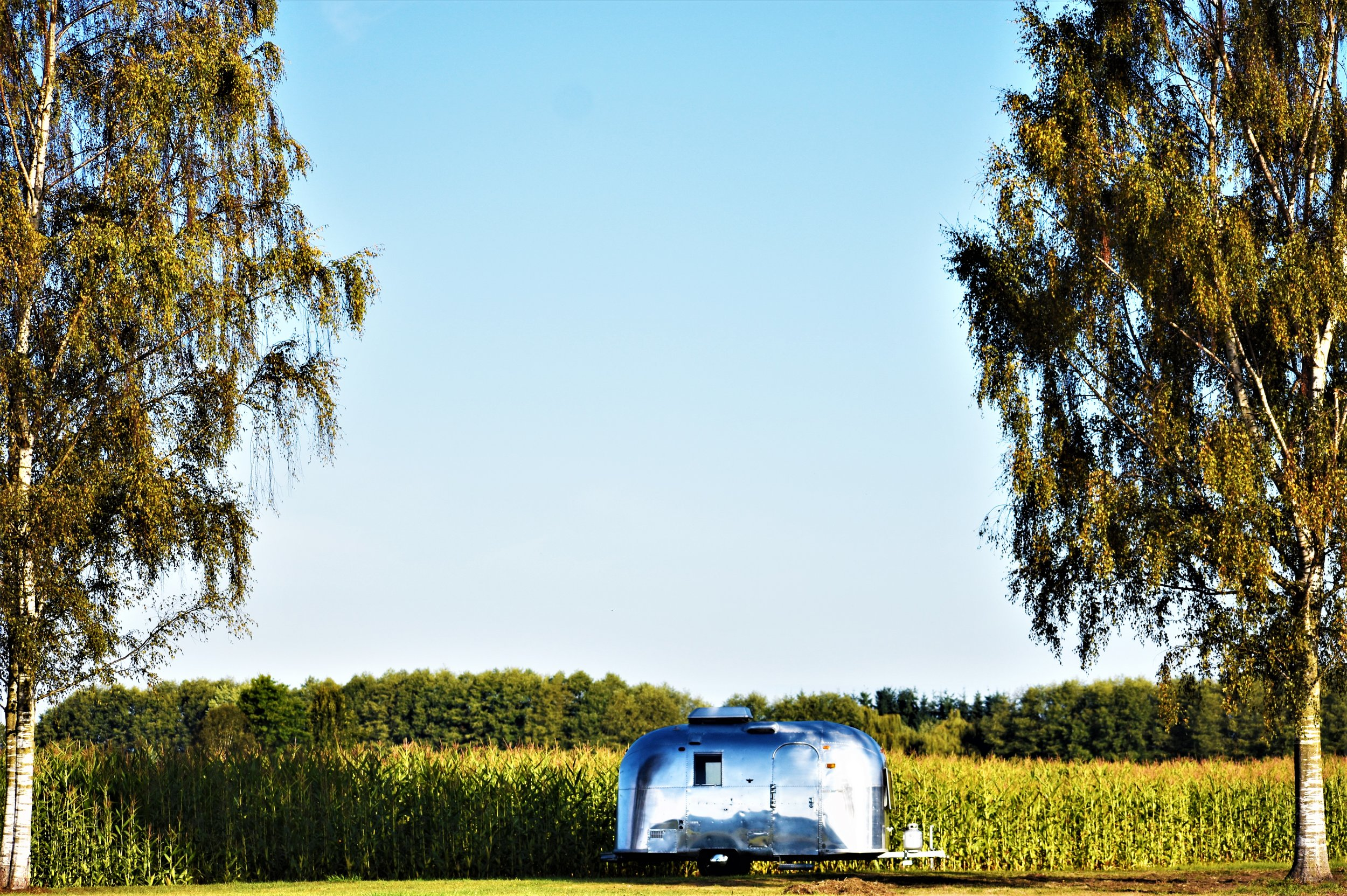 the birches and airstream in late summer amongst the corn crop
