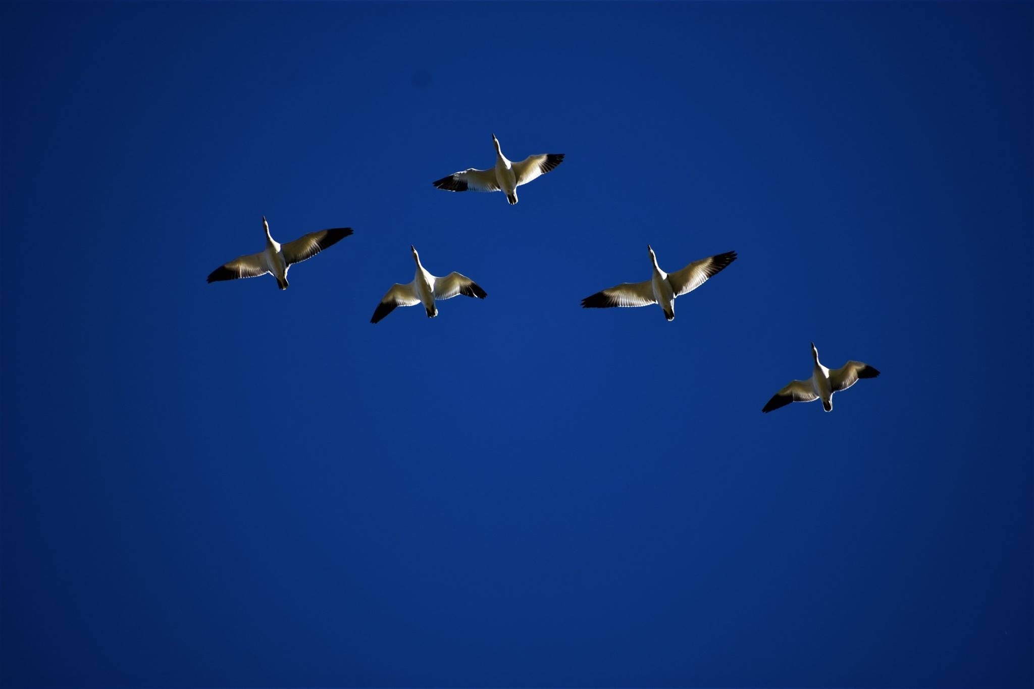 annual Snow Geese visit