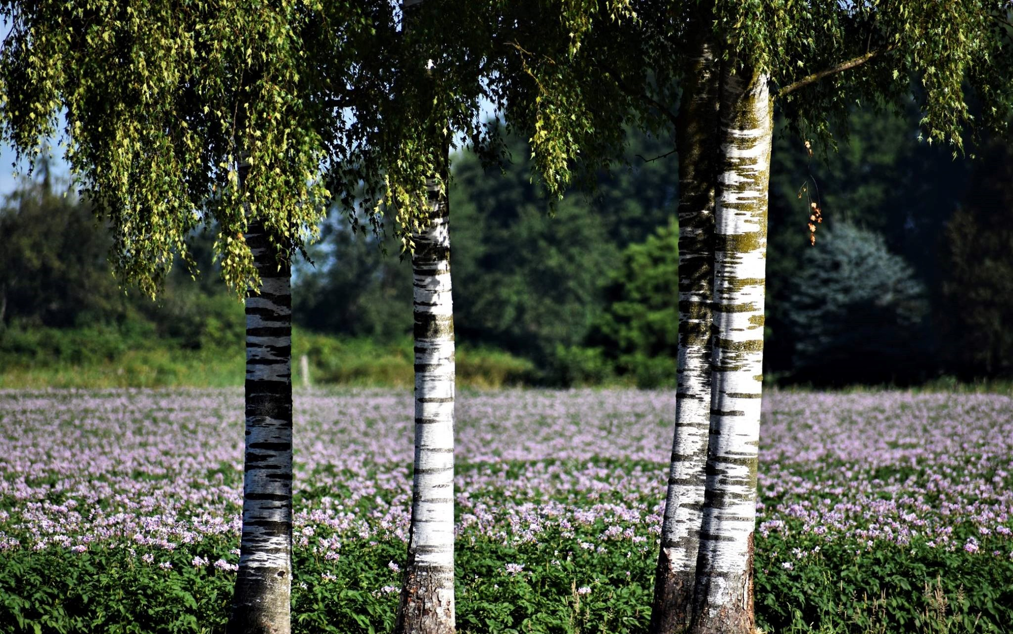 The birches with potatoes in bloom. A lovely, natural wedding arbor.