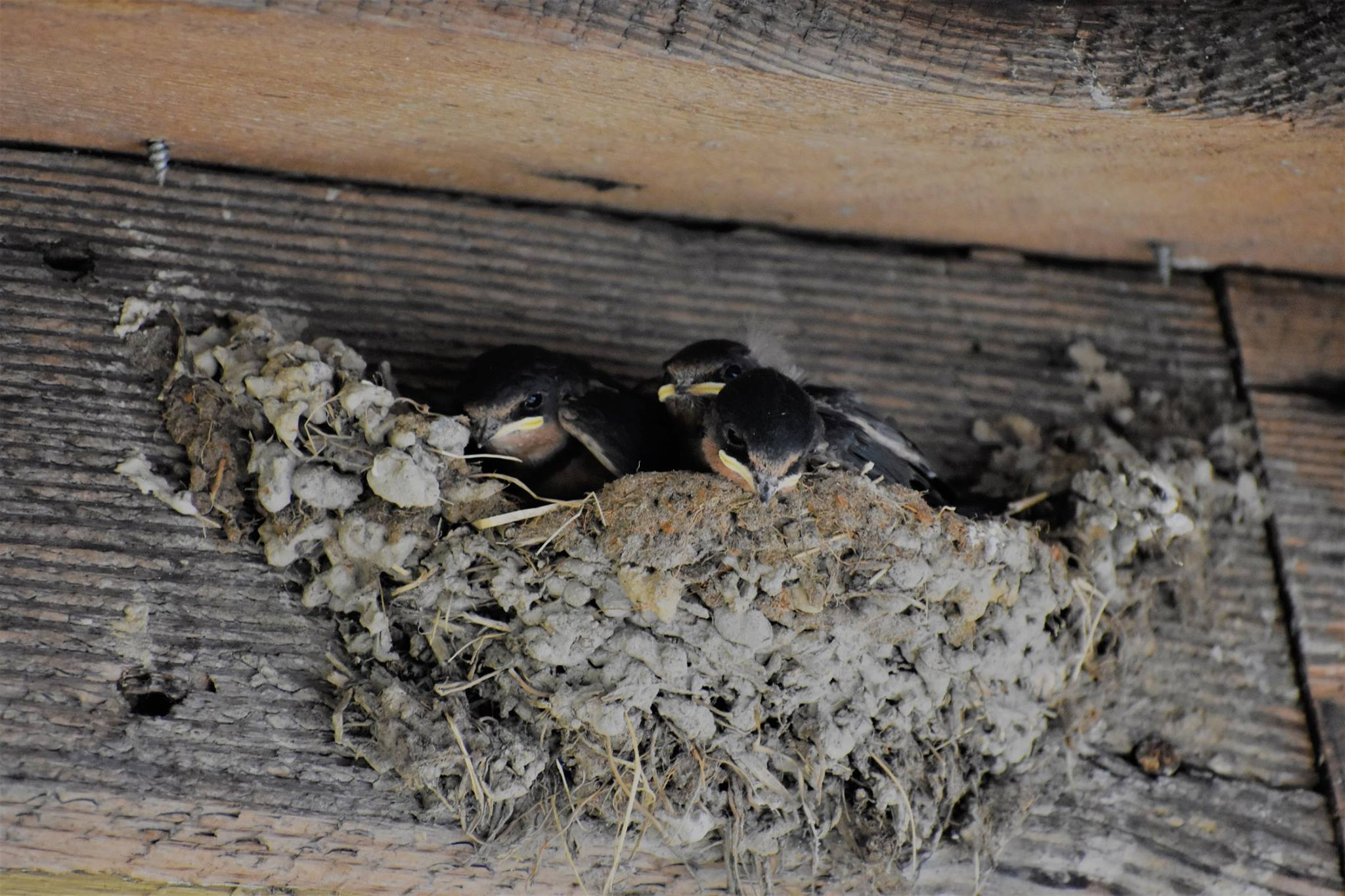 barn swallows in their nest