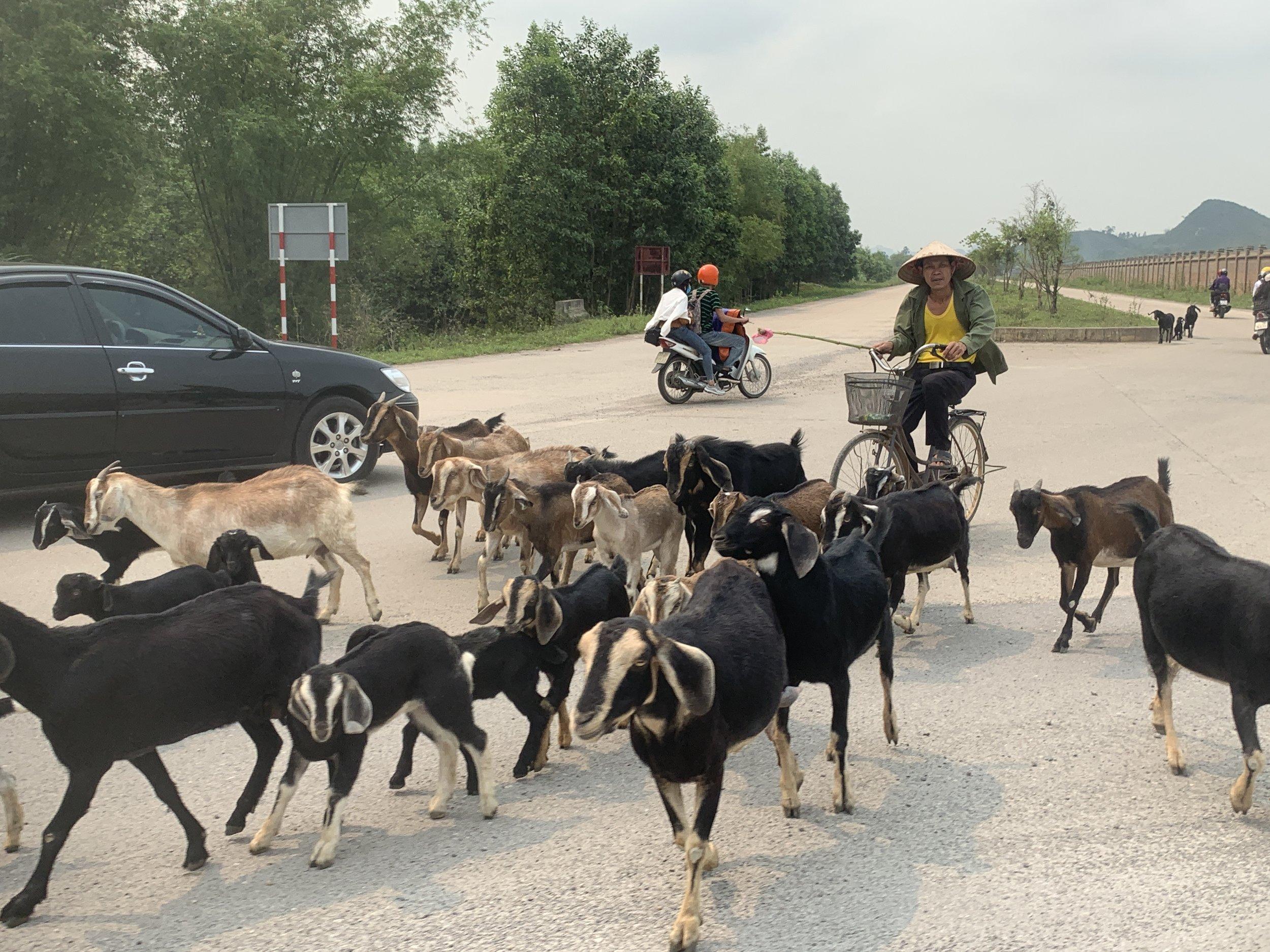 ninh binh goats