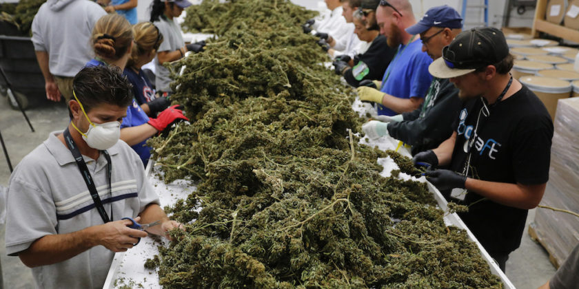 In this Oct. 4, 2016 photo, farmworkers remove stems and leaves from newly-harvested marijuana plants, at Los Suenos Farms, America's largest legal open air marijuana farm, in Avondale, southern Colo. During the fall 2016 harvest, the 36-acres at Los Suenos is expected to yield 5 to 6 tons.