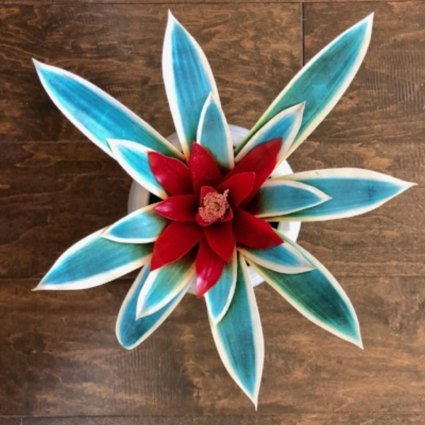 turquoise bromiliad.jpg