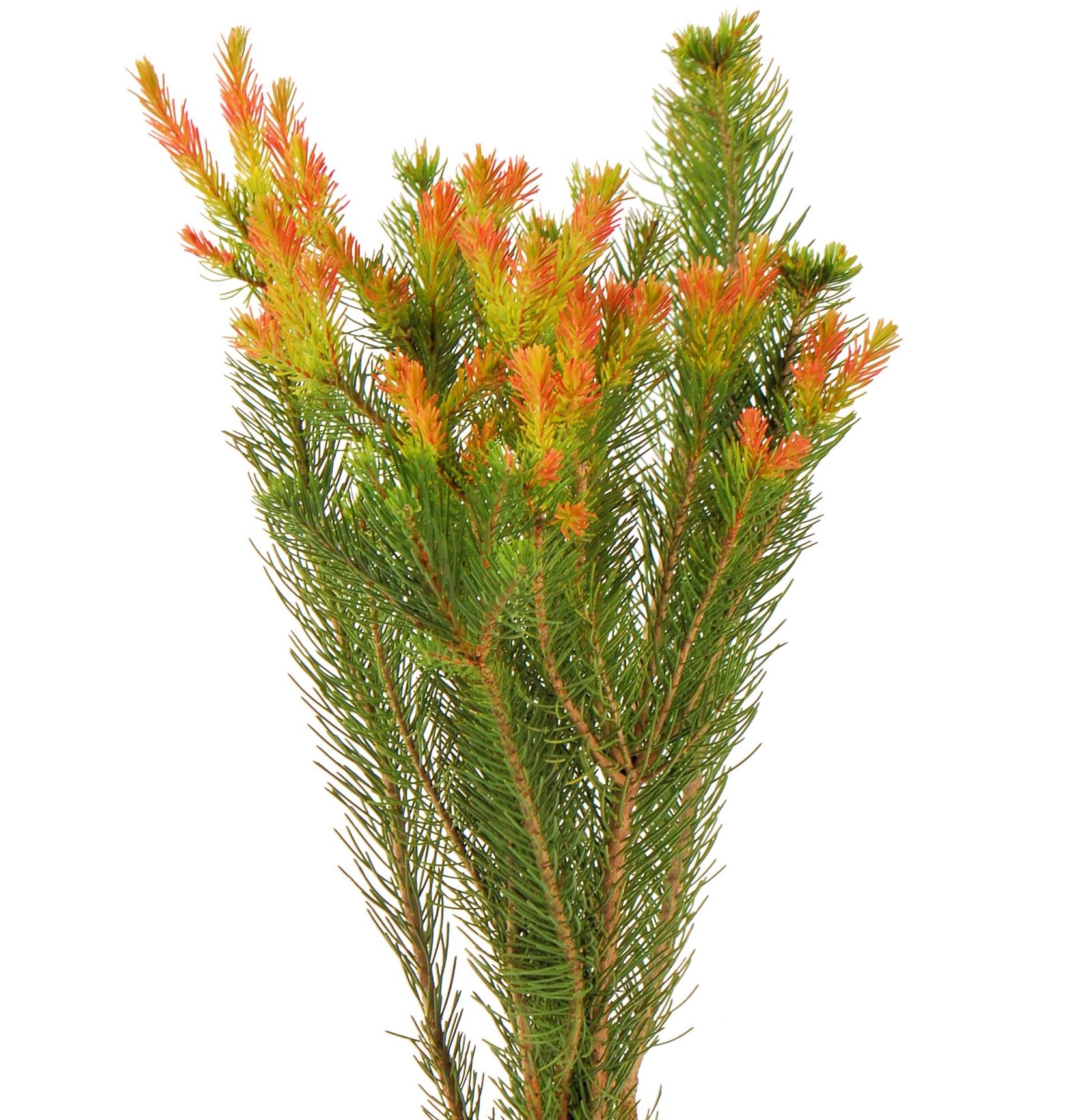 Australia Pine Bunch.JPG