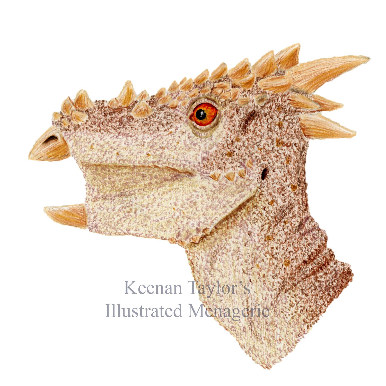 Juvenile Pachycephalosaurus wyomingensis (or Dracorex hogwartsia)