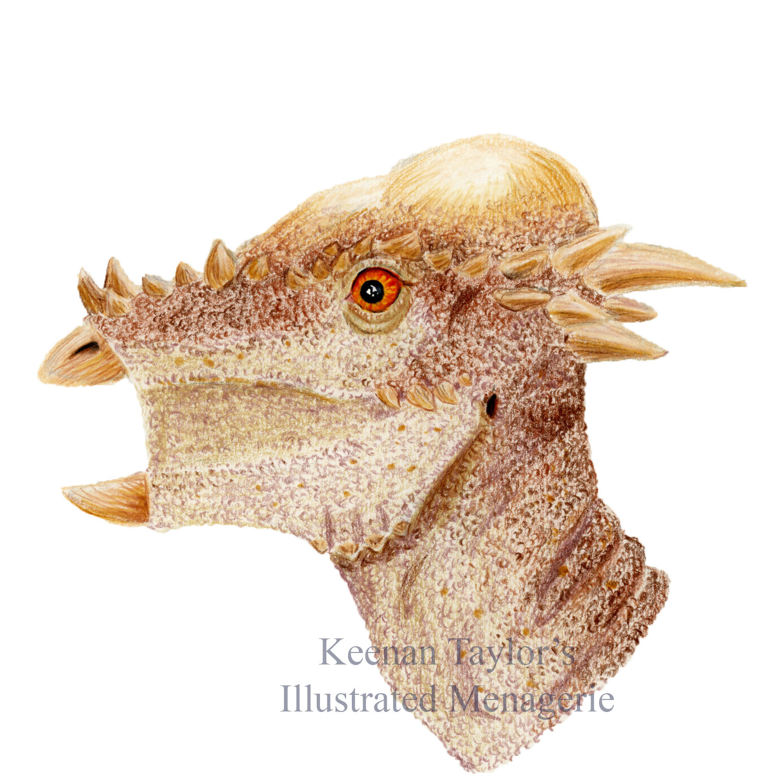 Subadult Pachycephalosaurus wyomingensis (or Stygimoloch spinifer)