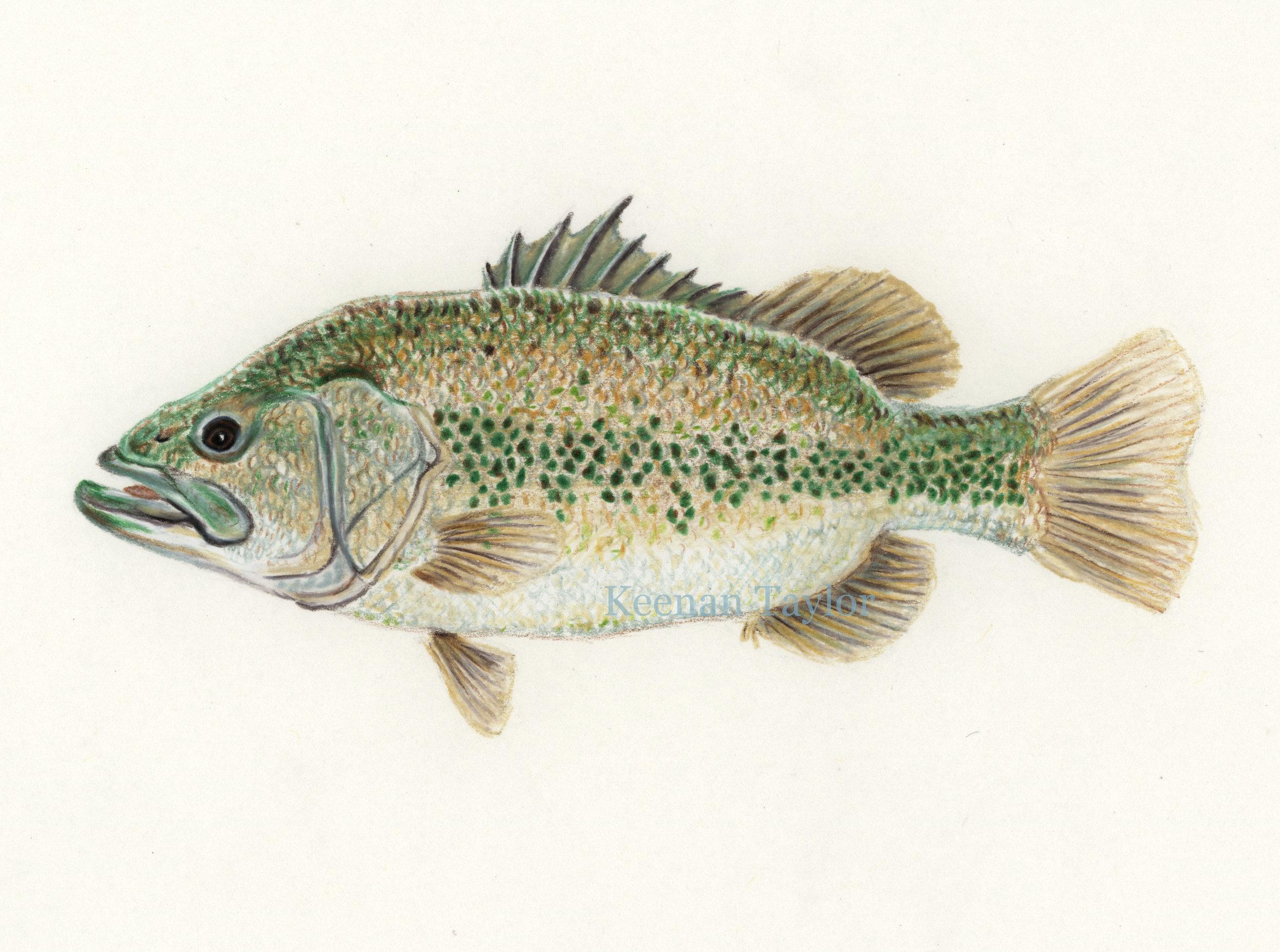 Largemouth Bass (Micropterus salmoides)