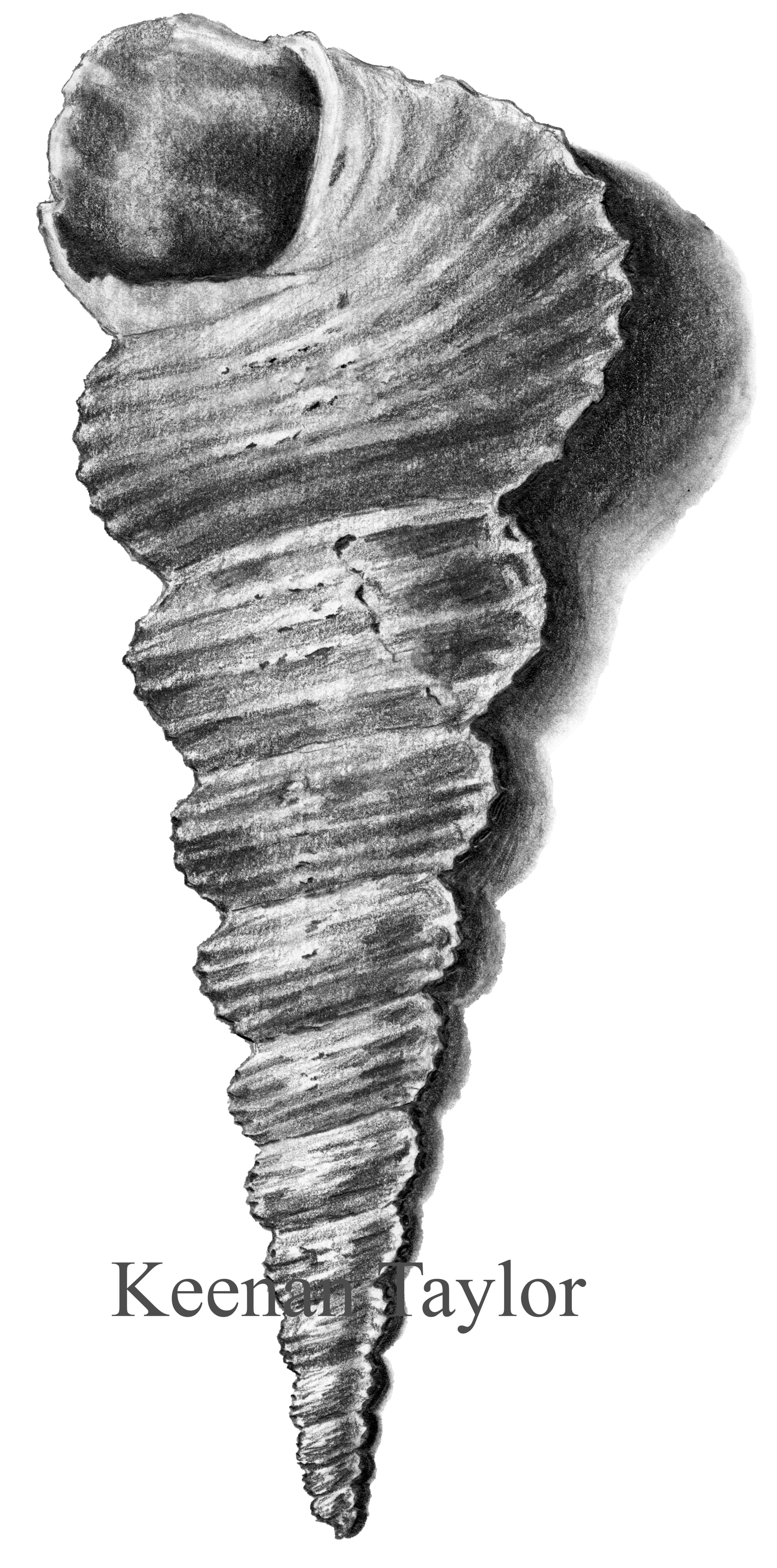 Tower Snail (Turritella communis)