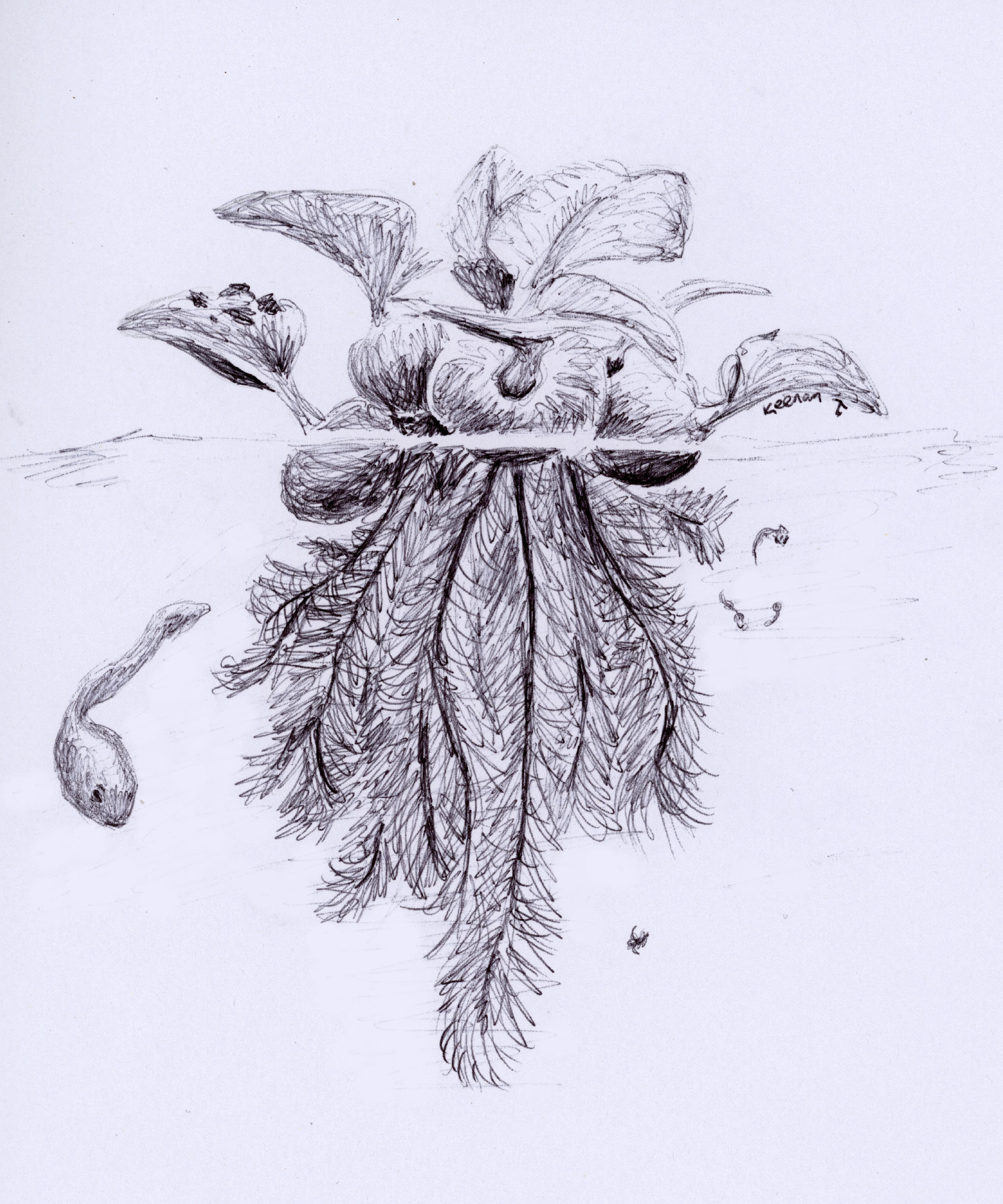Water Hyacinth (Eichhornia crassipes)