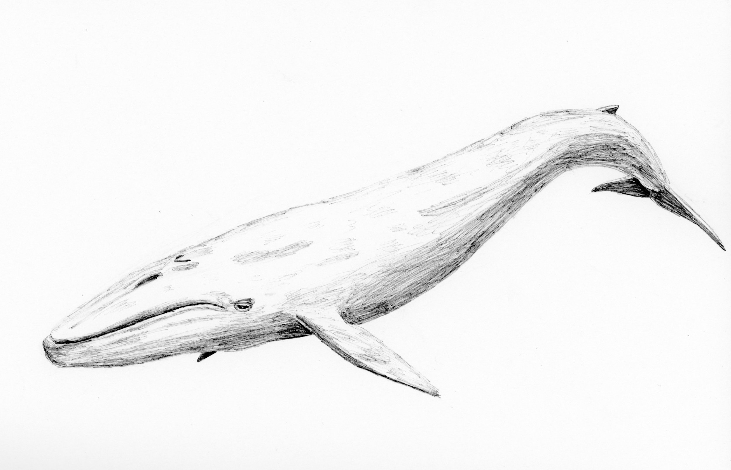 Blue Whale (Balaenoptera musclulus)