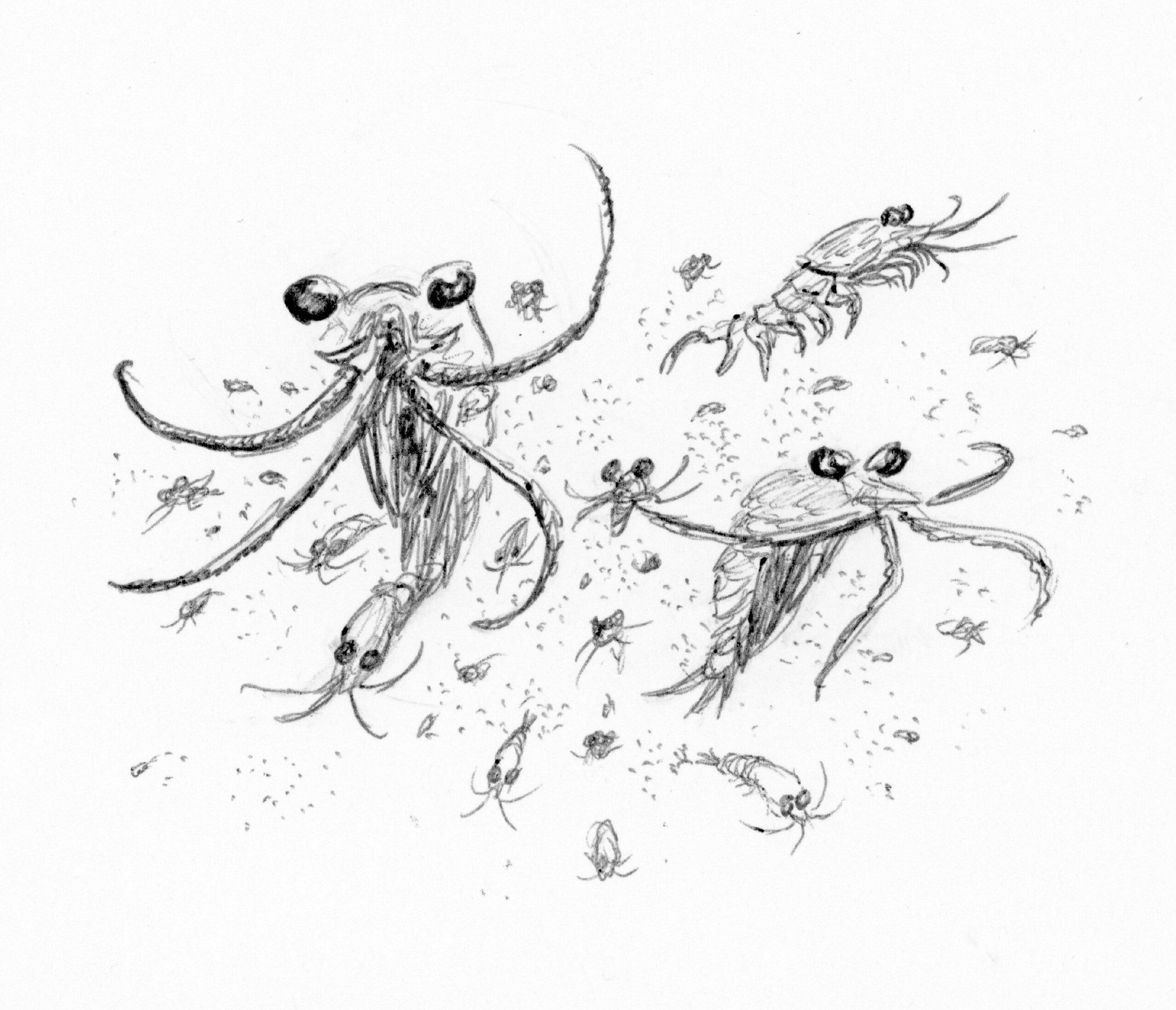 Krill (Order Euphausiacea)