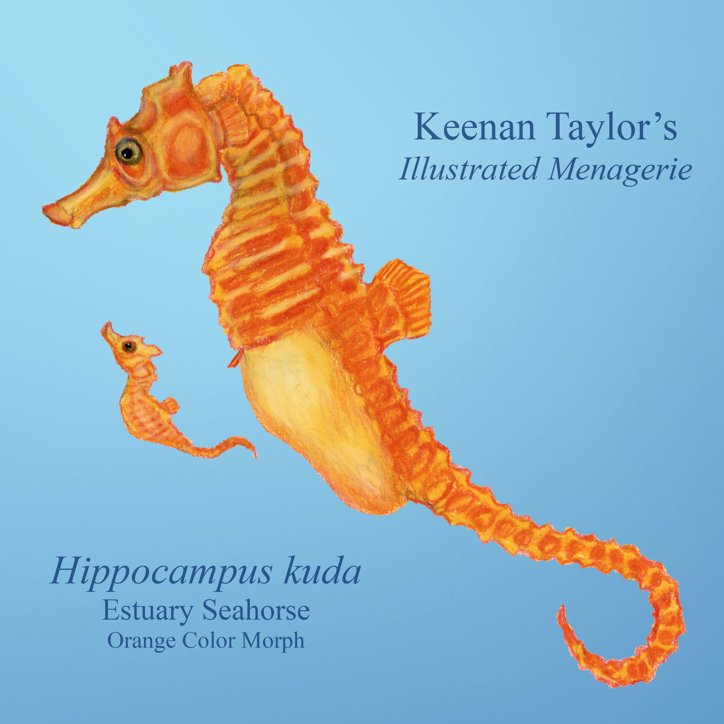 Estuary Seahorse (Hippocampus kuda)