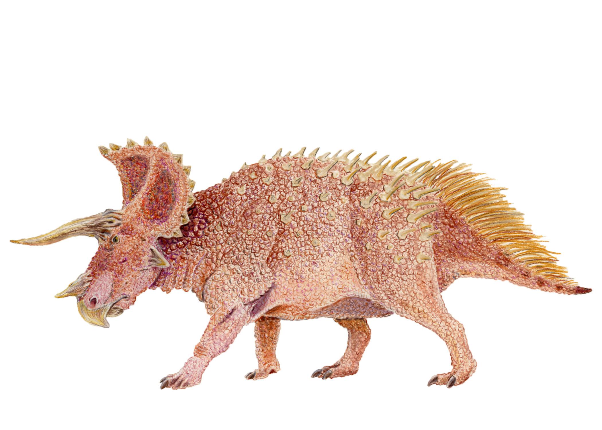 Triceratops prorsus (contemporary)