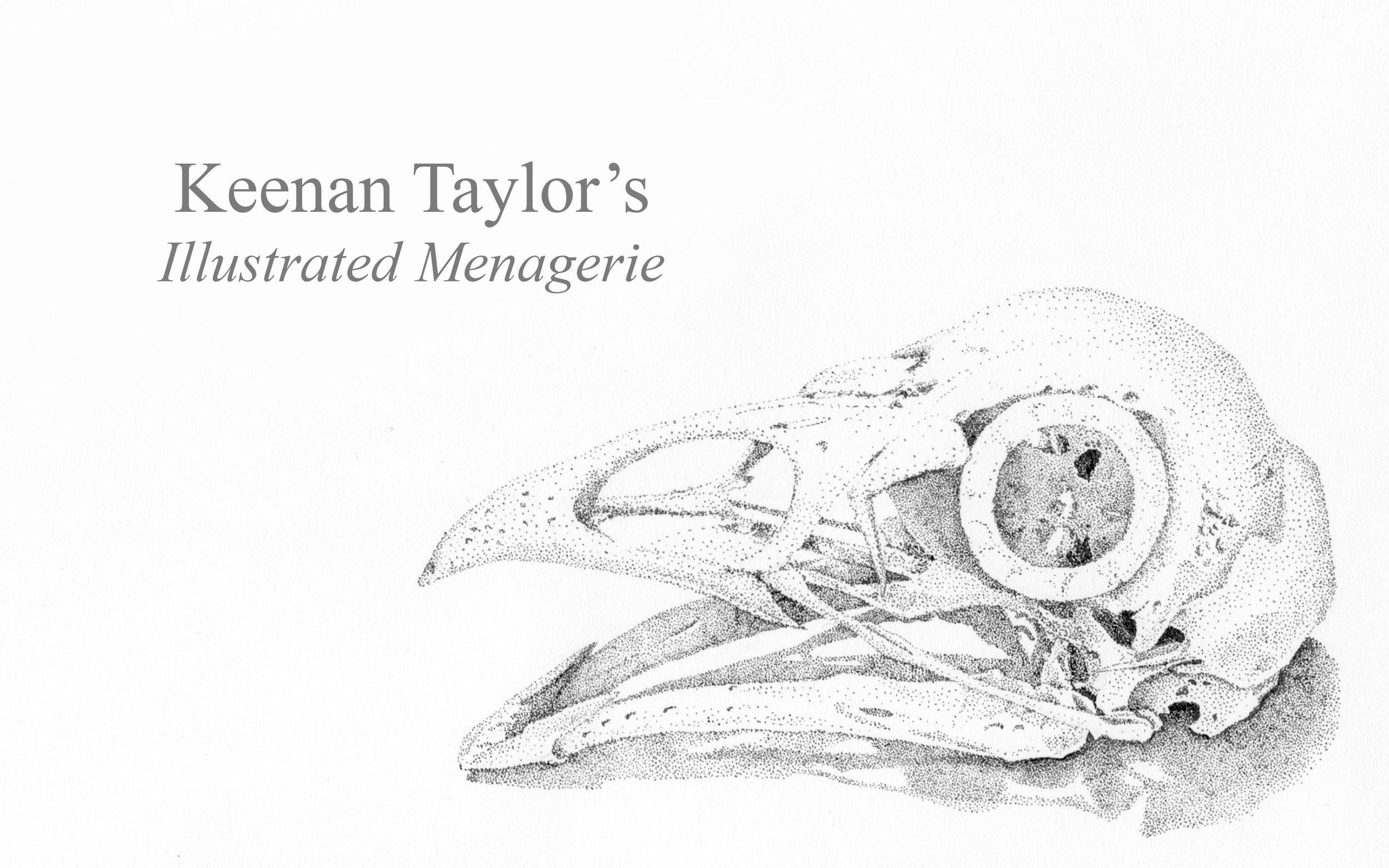 Skull of a Domesticated Chicken ( Gallus gallus )