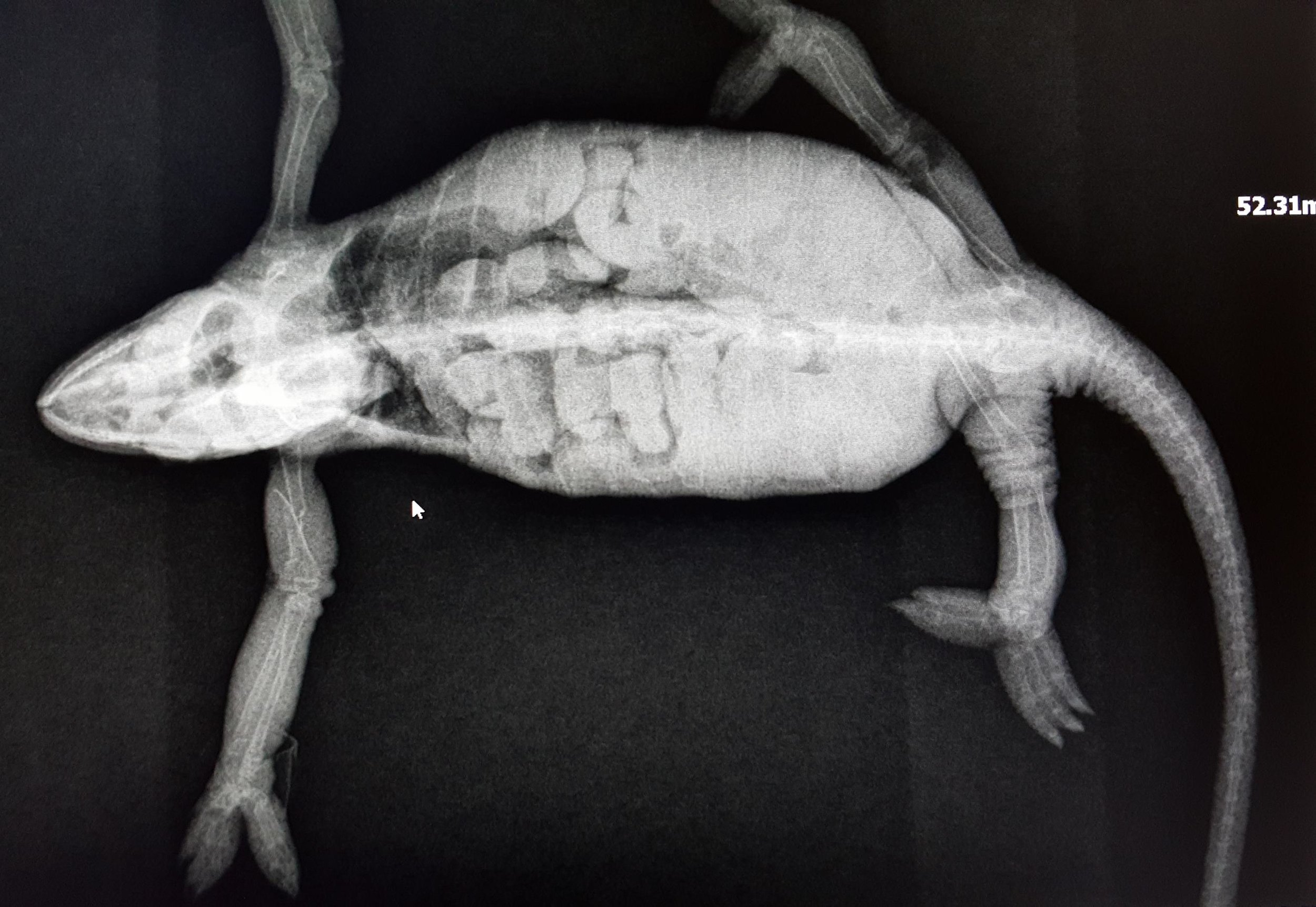 A radiograph of a chameleon with with a broken leg and a LOT of eggs
